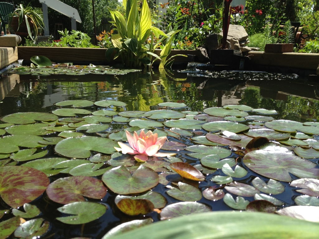 I have had these water lillies for about 14 years.