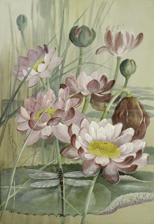 Giant Waterlily,  Nymphaea pubescens , with a Giant Petaltail dragonfly,  Petalura ingentissima  1911  Ellis Rowan  Watercolour and gouache Source: Queensland Museum