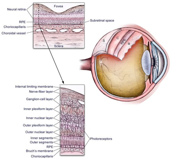 Figure 3: Anatomy of the eye. Borrowed from  http://www.aafp.org/afp/2004/0401/p1691.html