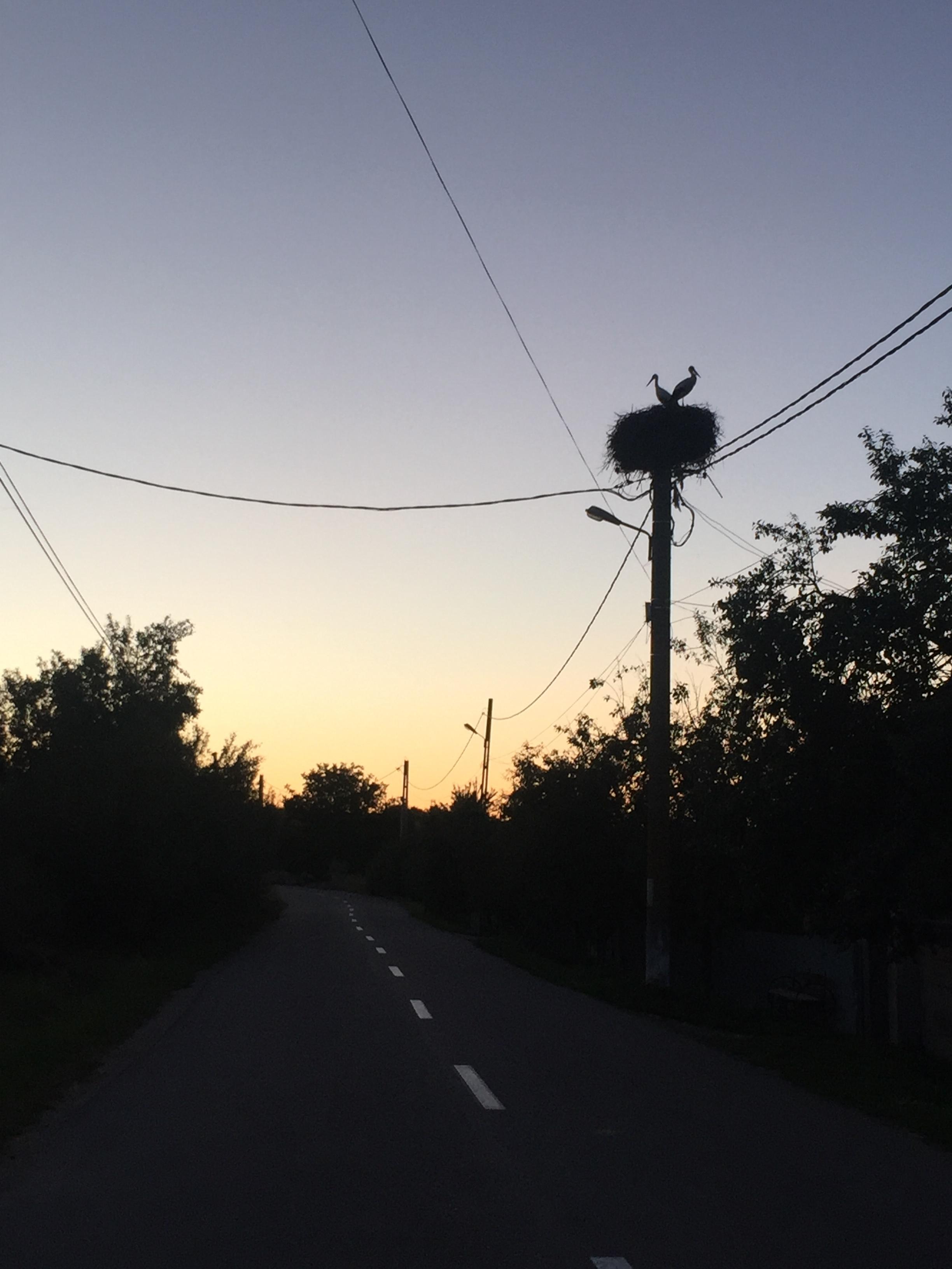 Herons nesting on a light post.