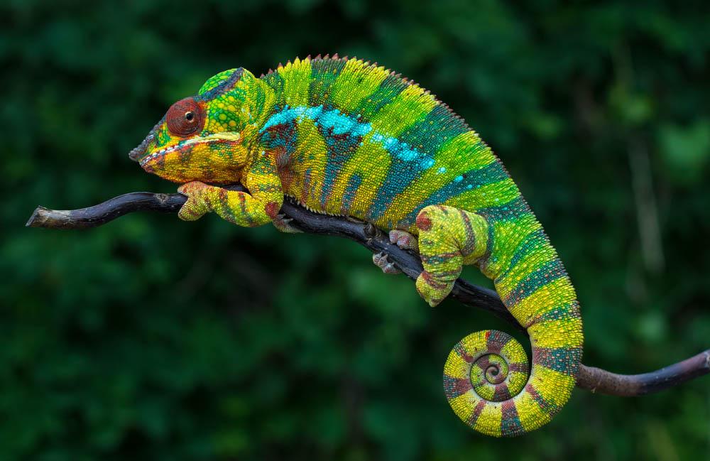 angry-chameleon.jpg