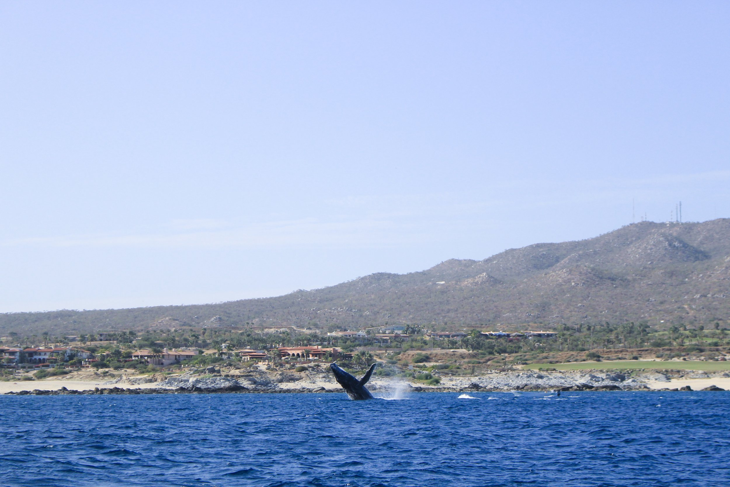 humpback whale breaching in cabo san lucas, mexico