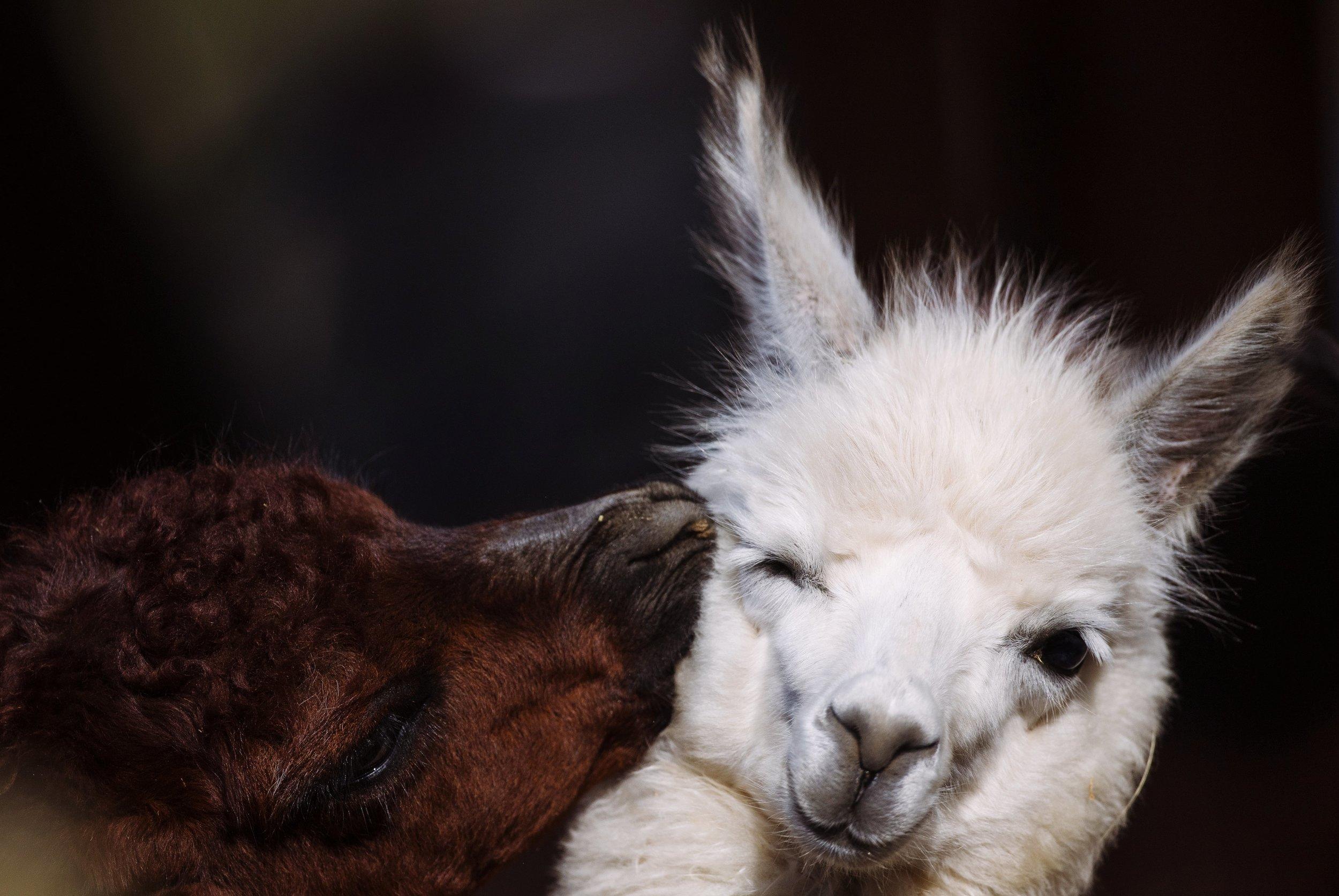 Ein braunes Lama kneift einem weißen Lama in die Backe