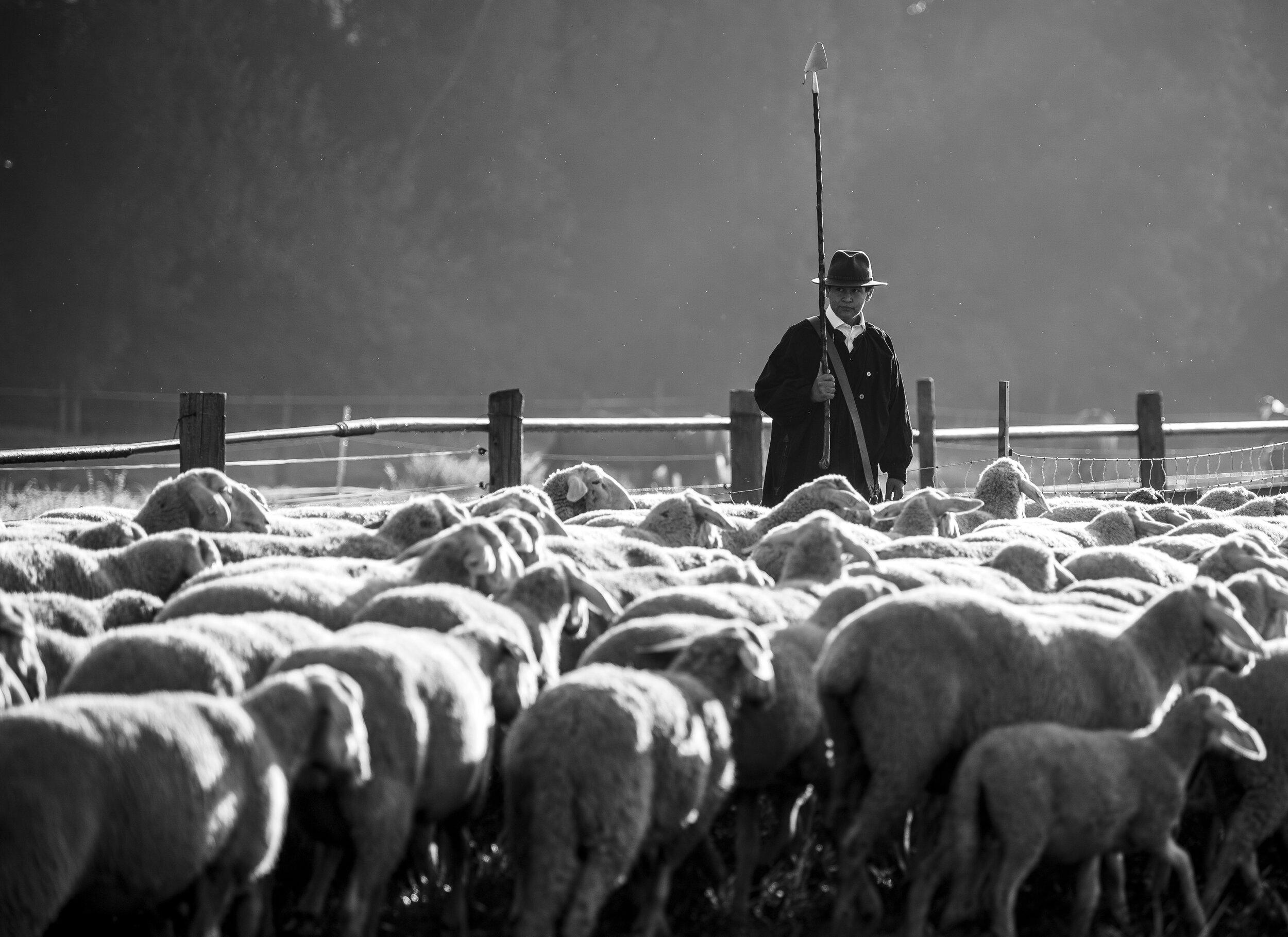 Die Teilnehmer müssen mit ihren Hütehunden eine Schafherde durch eine Art Parcours lotsen.