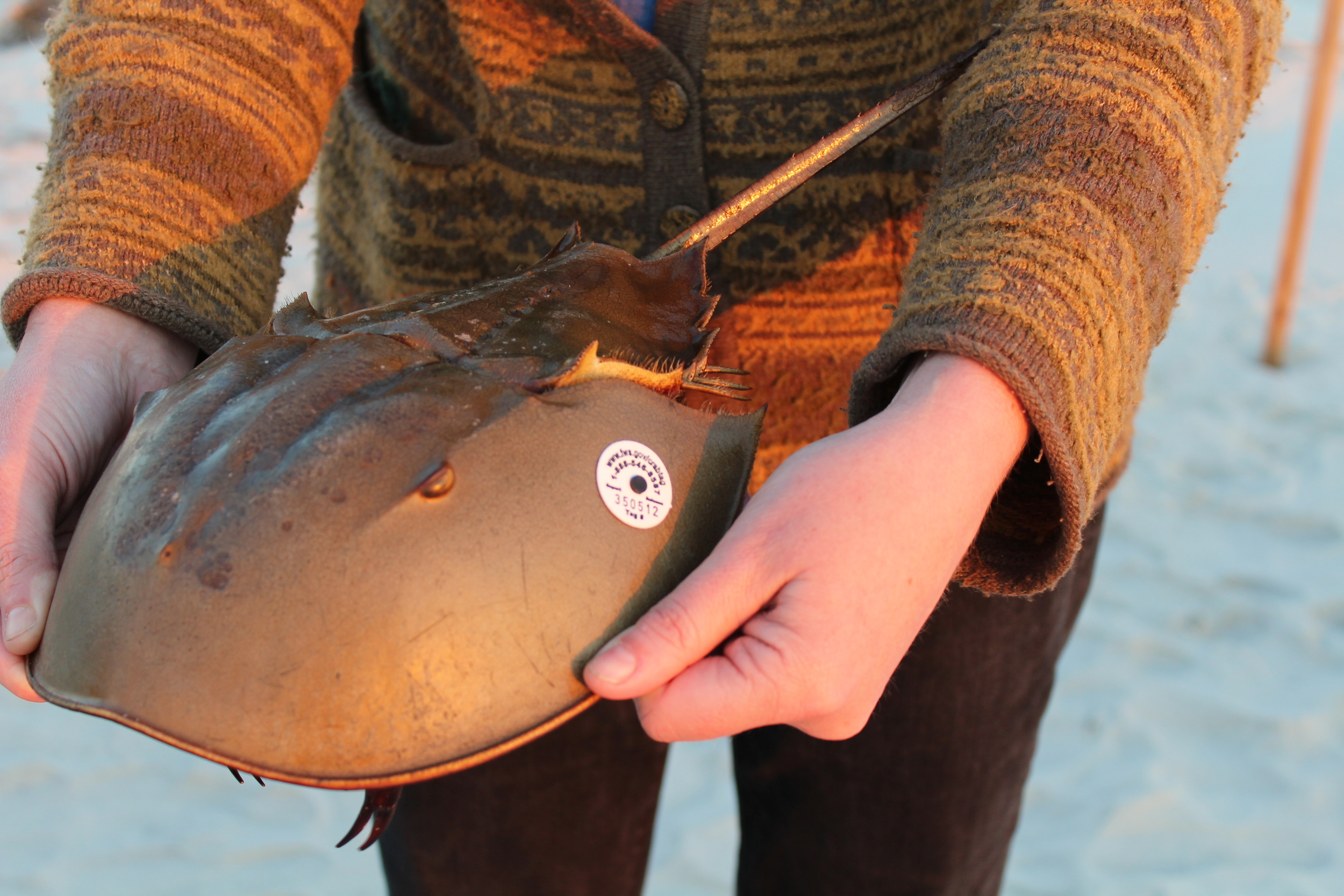 SCDNR staff and volunteers tagged over 700 horseshoe crabs in May 2016. (Photo: E. Weeks/SCDNR)