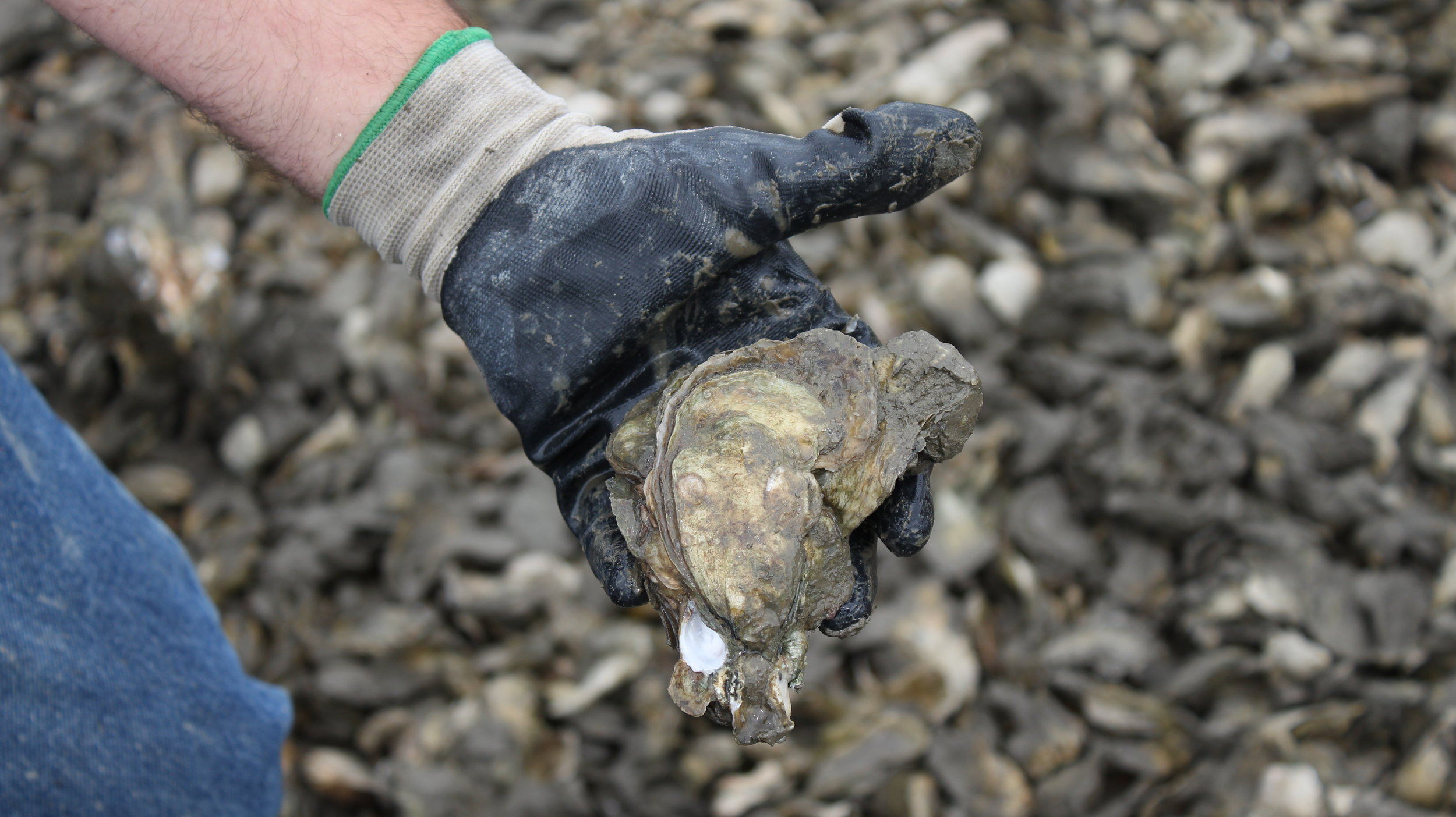 Veteran oyster harvesters and first-timers alike will benefit from the new shellfish ground web app. (Photo: E. Weeks/SCDNR)