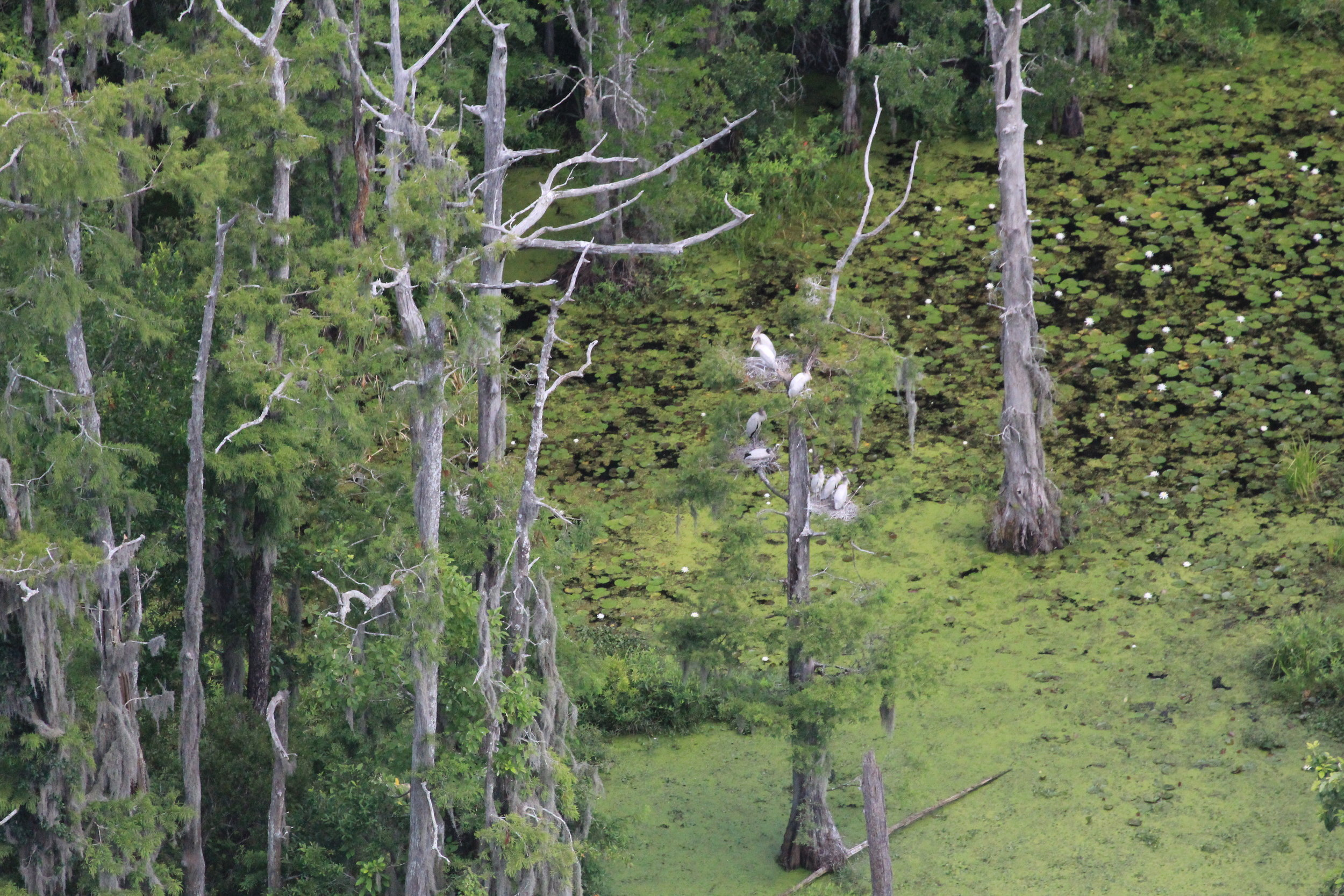 Pretty as a picture:wood stork chicks sit on their nests in a bald cypress tree at Washo Reserve, a property owned by the Nature Conservancy and jointly managed by SCDNR. (Photo: Christy Hand)