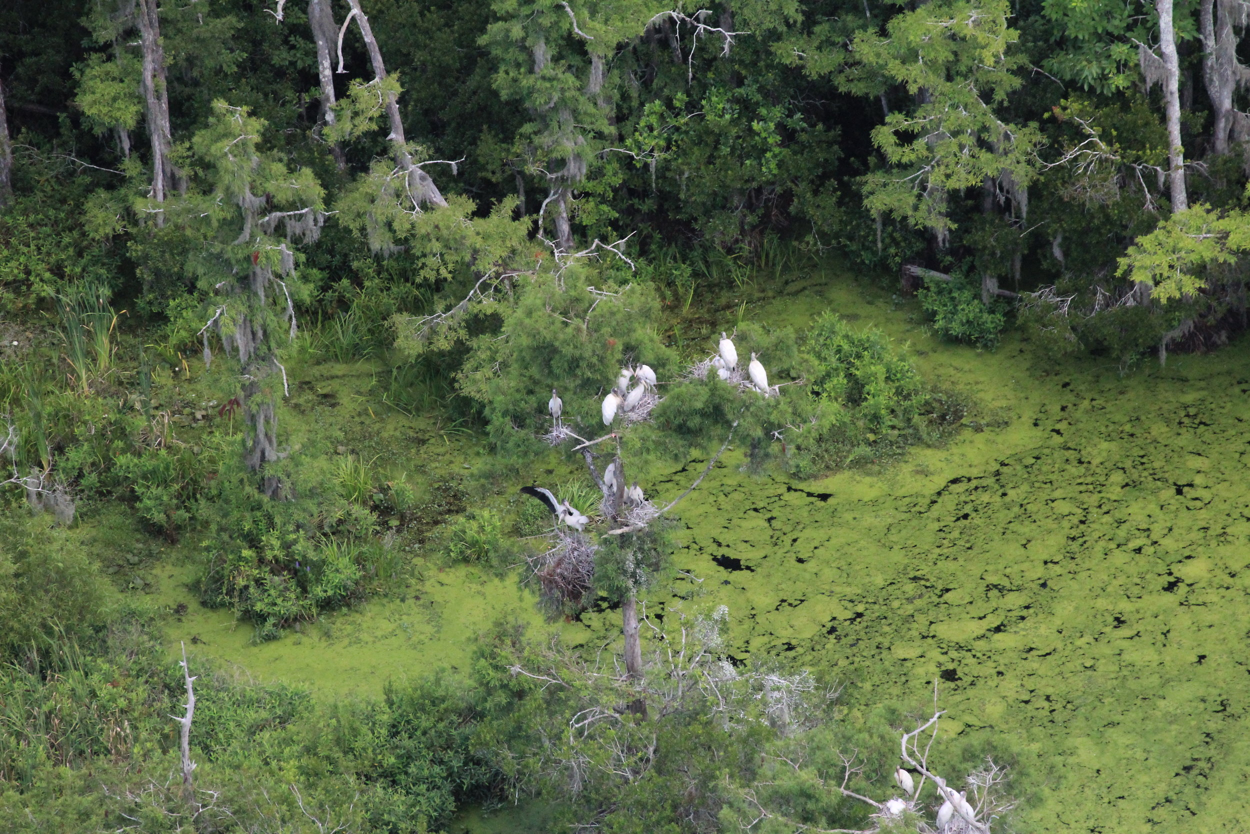 Only in recent decades have wood storks expanded their range and begun nesting in South Carolina. The first nests were documented in 1981 (11 nests); in 2016 that number had grown to 2,512 nests. (Photo: Christy Hand)