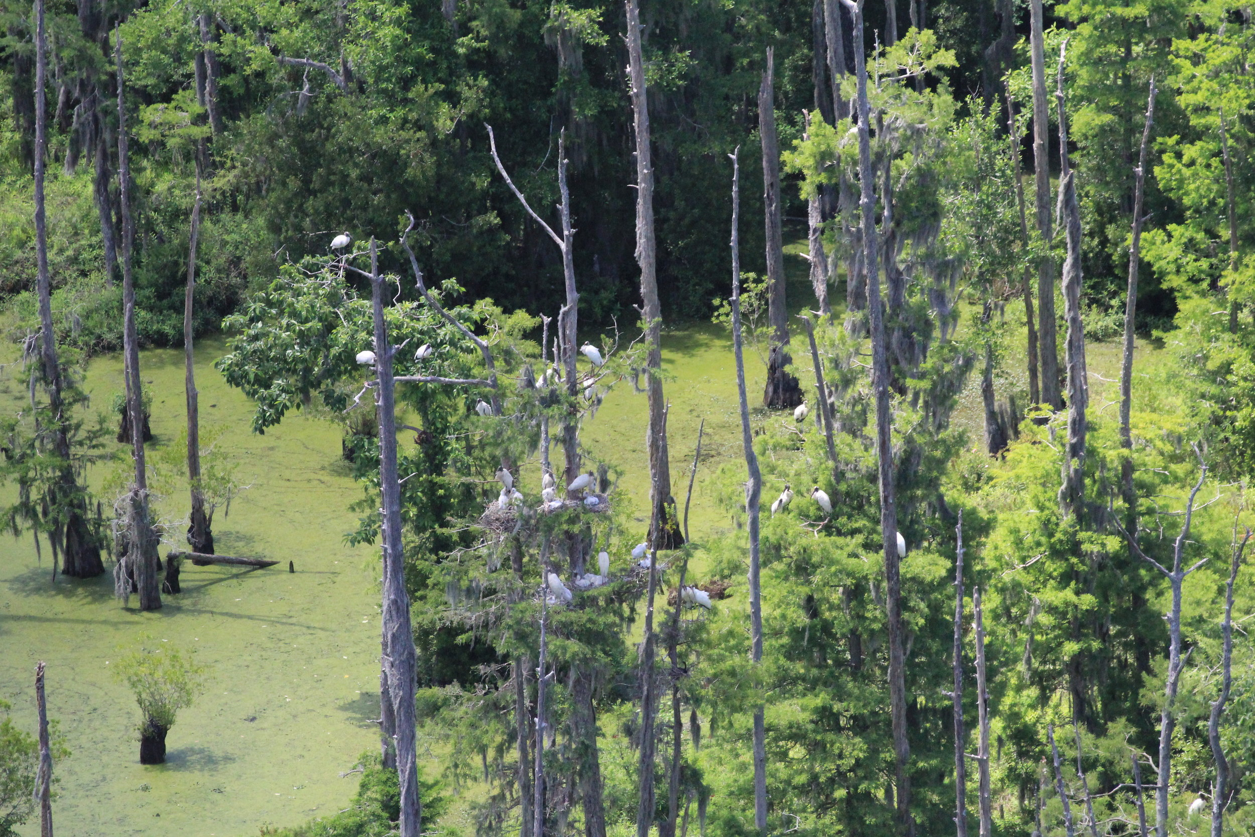SCDNR pilots and biologists fly at a distance that does not disturb the wood storks they're studying, using long-range lenses to capture closer-up images. (Photo: Christy Hand)