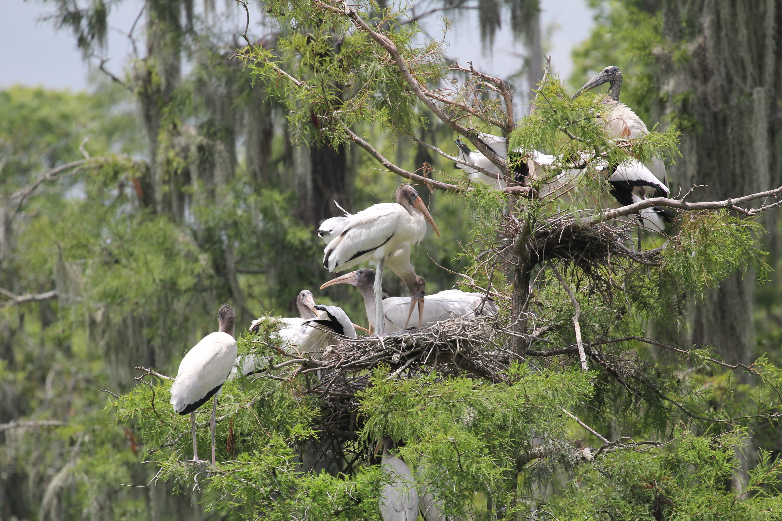 This is what wood storks look like up close, taken from a distance during a weekly visit to one of the plots where SCDNR staff monitor nesting success. Here you can see both juveniles, with the peach-colored bills and fuzzy heads, as well as a bald, black-headed adult at right. (Photo: Christy Hand)