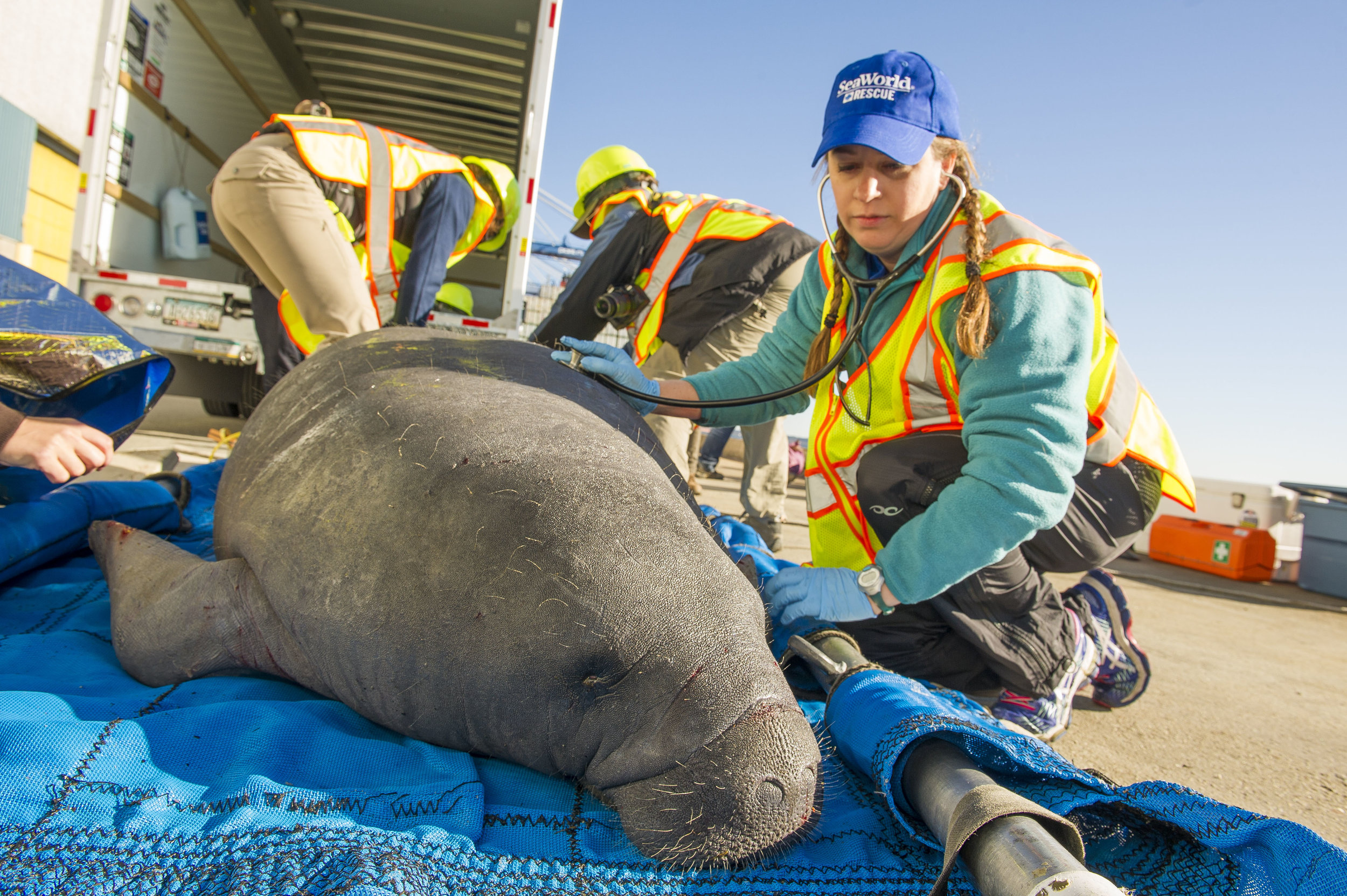 A Sea World vet checks the health of a male manatee rescued from the cold waters of the Cooper River. (Photo: Sea World of Orlando)