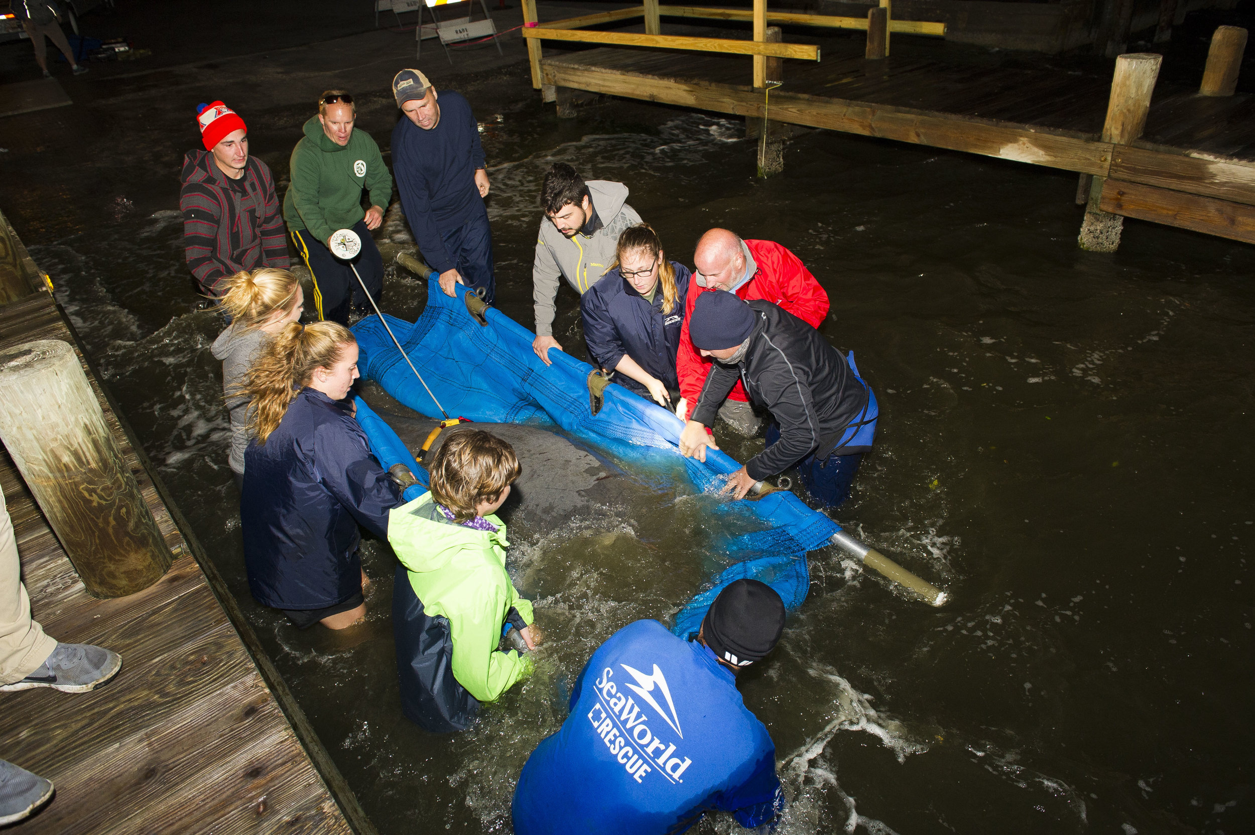 The rescued manatees were all released into waterways near Cape Canaveral, Florida. (Photo: Sea World of Orlando)