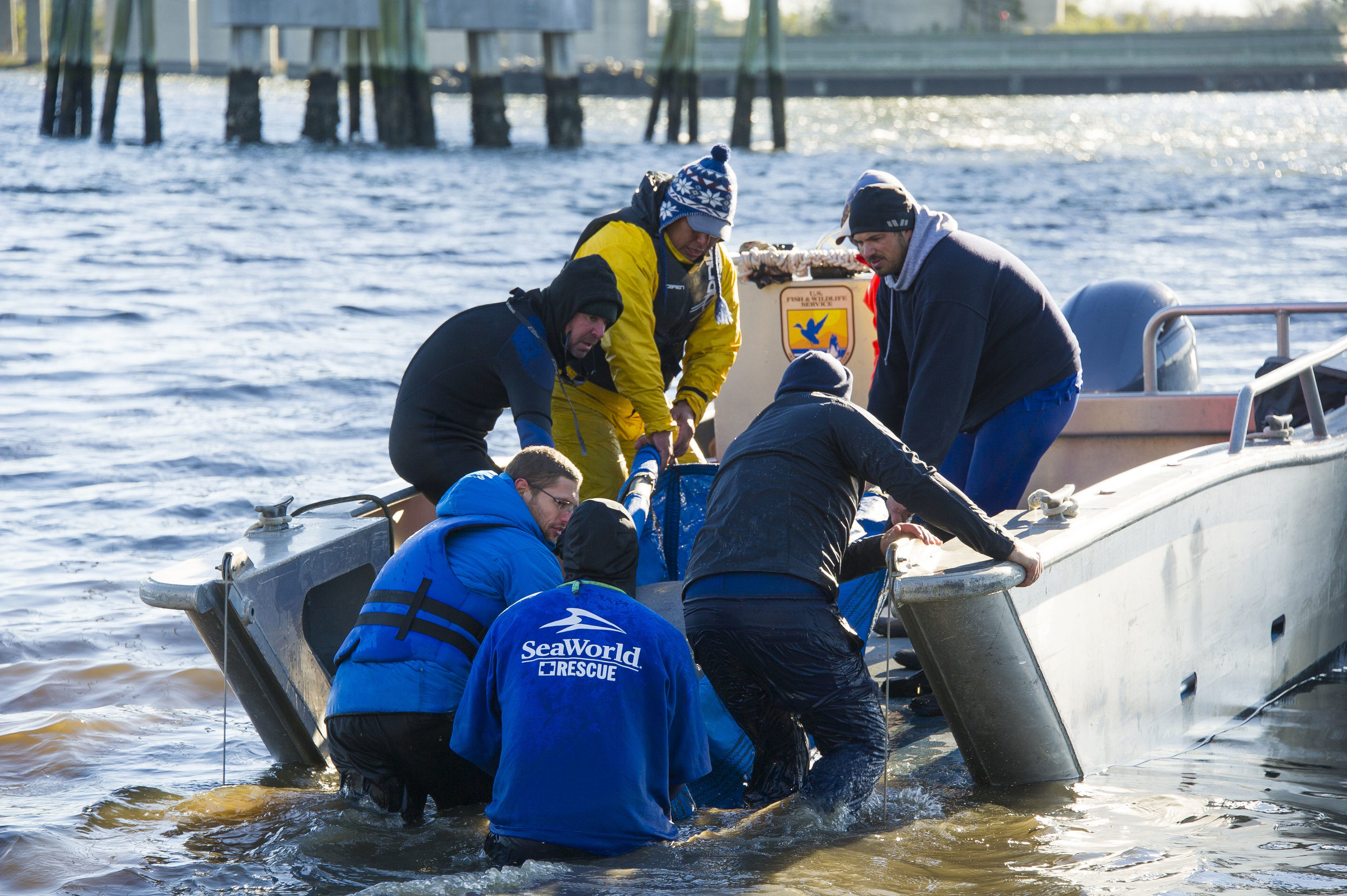 The rescue team loads one of the manatees in a stretcher onto a USFWS landing craft. (Photo: Sea World of Orlando)