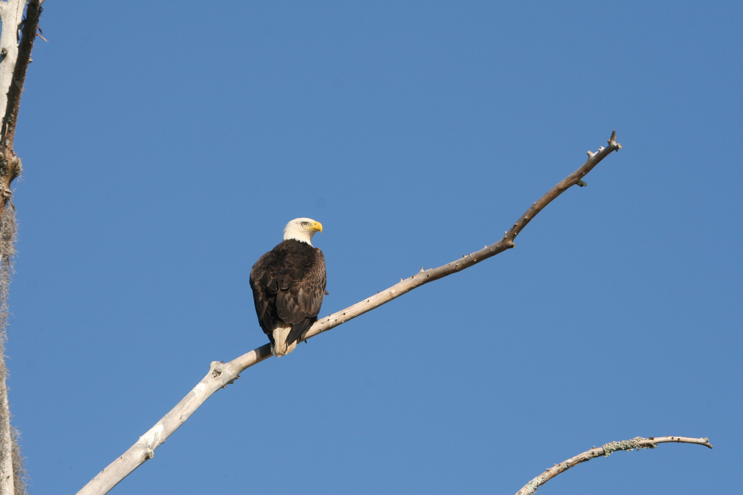 An adult bald eagle sits on a snag overlooking the Combahee River. Juveniles have dark heads and tail feathers and develop their distinctive white plumage around age five. (Photo: Liz Duermit)
