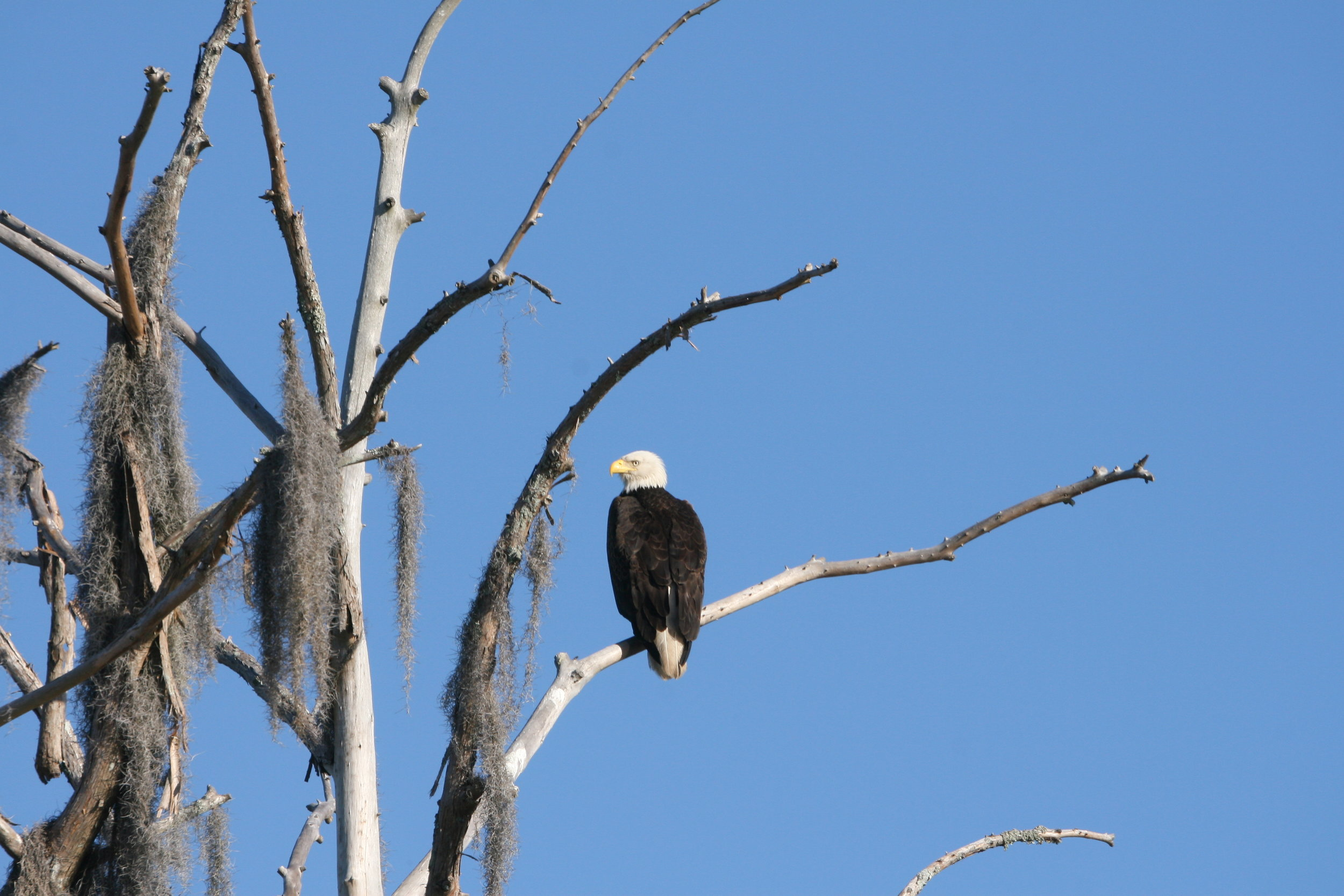 Til death do us part: bald eagles mate for life, but when one member of pair dies, the surviving mate will  partner with a new male or female. (Photo: Liz Duermit)