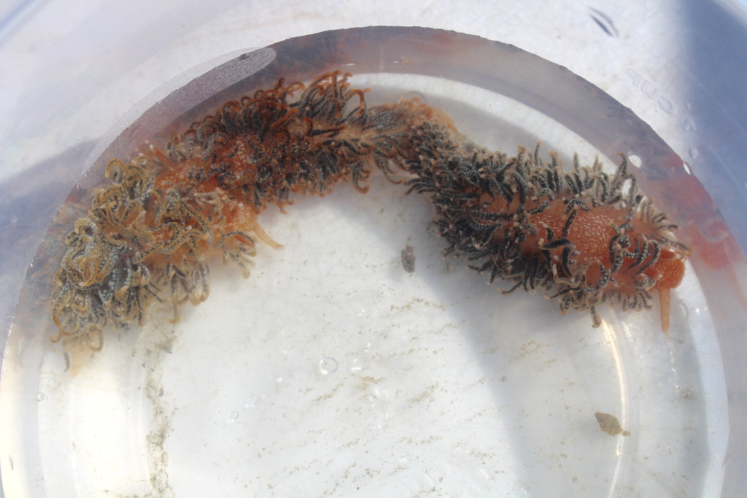 Three  Spurilla braziliana  nudibranchs that SCDNR biologists found on a crab pot during an inshore shark survey. (Photo: E. Weeks/SCDNR)