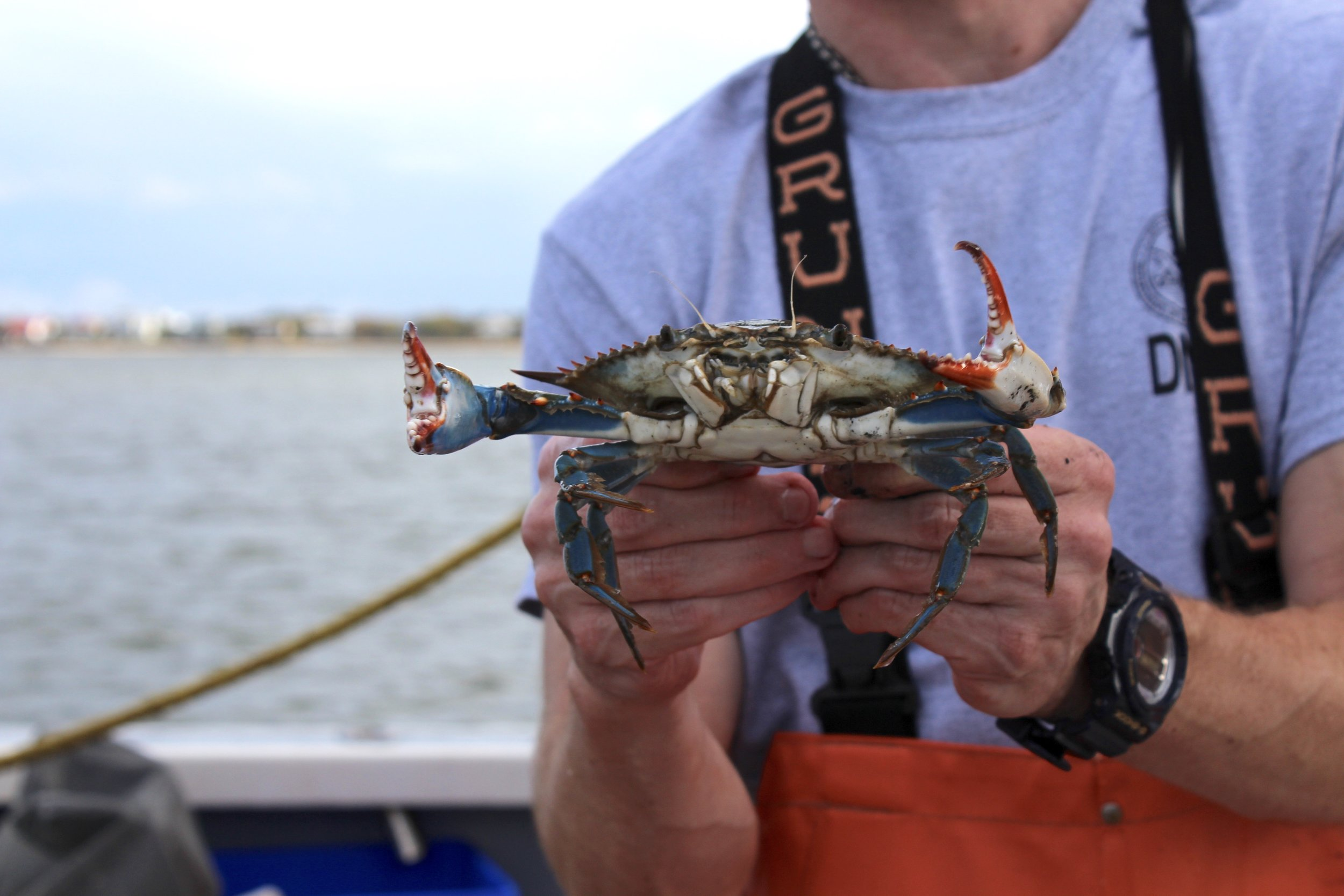 This mature male blue crab, or jimmy, was collected on an SCDNR crustacean trawl. (Photo: E. Weeks/SCDNR)