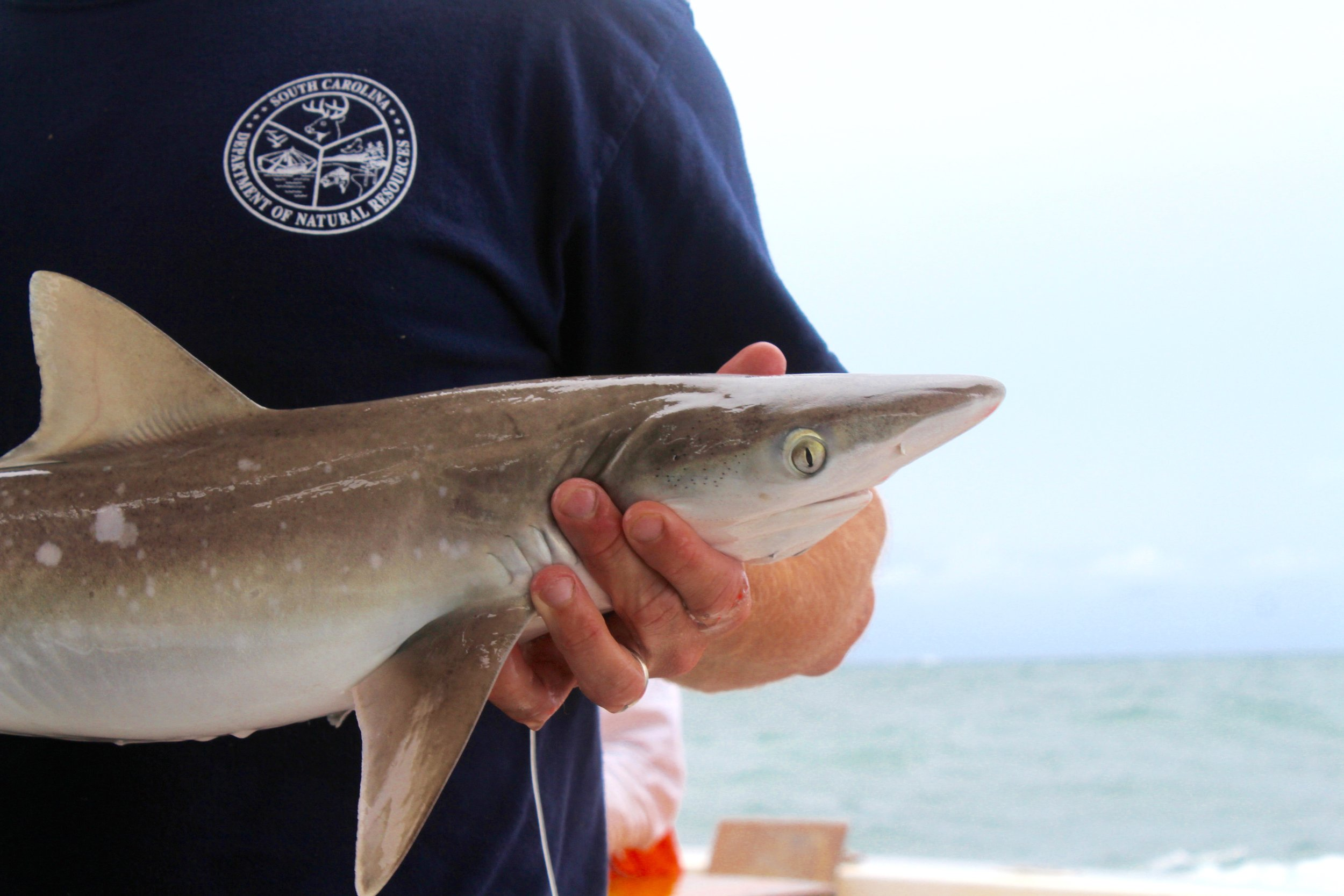 The study found that small and quick-to-mature shark species, such as this Atlantic sharpnose tagged on a longline survey, experienced less dramatic declines and recovered more quickly than large coastal species. (Photo: E. Weeks/SCDNR)