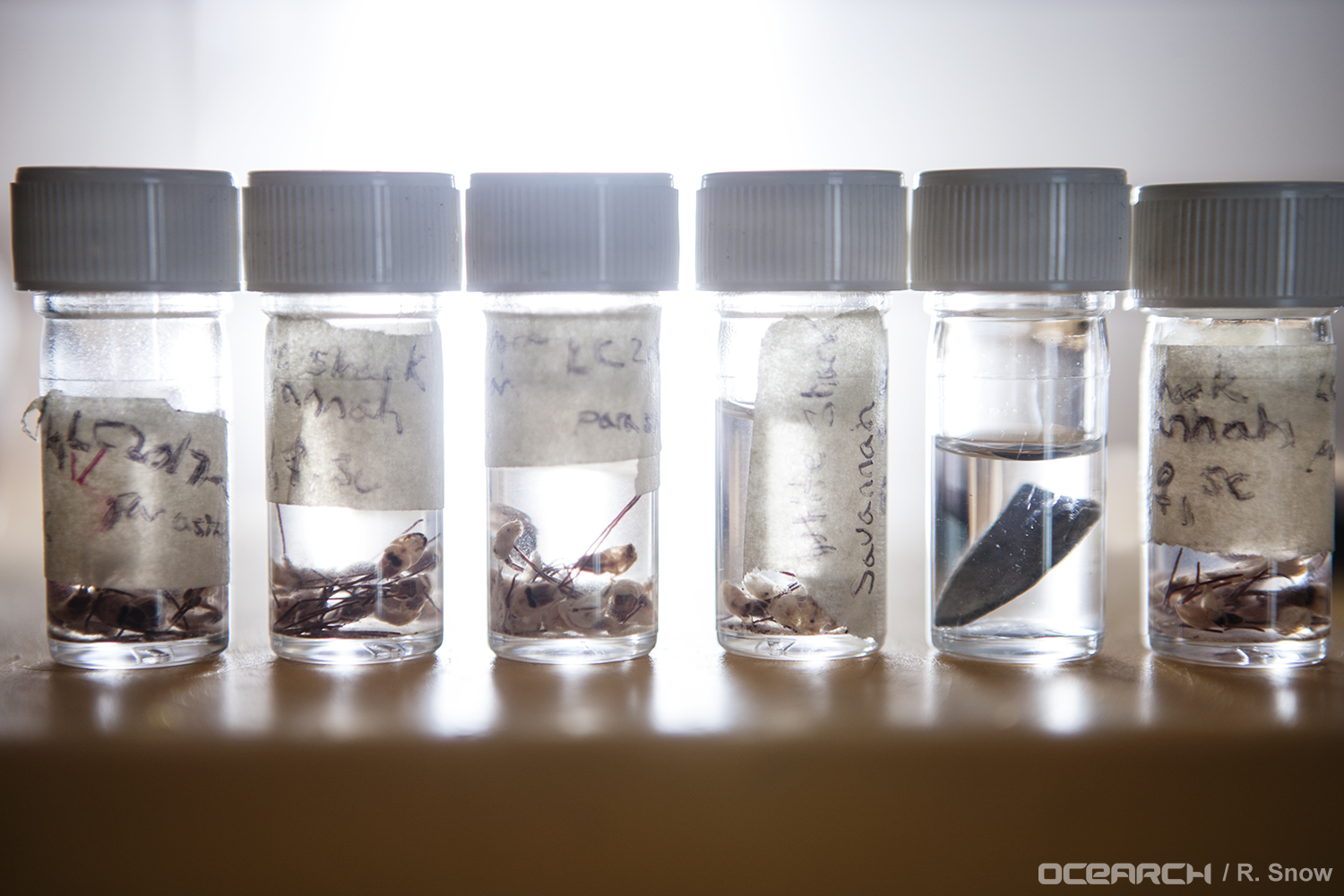 These parasitic copepods were collected from the expedition's white sharks for study by an Auburn University researcher. (Photo: OCEARCH/R. Snow)