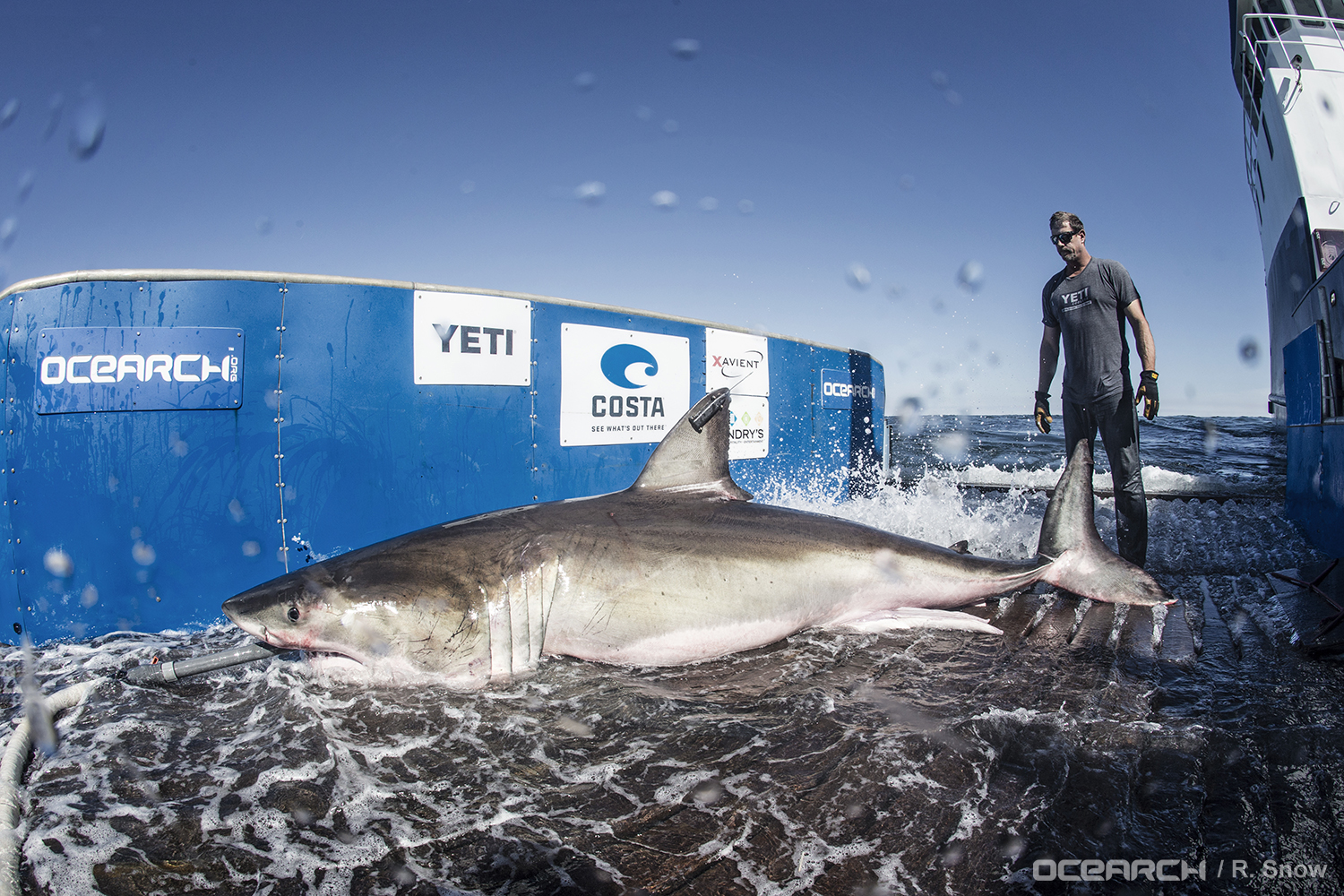 """McBride prepares to help return """"Hilton,"""" a 12.5-ft mature male white shark, to the waters off Port Royal Sound.(Photo: OCEARCH/R. Snow)"""