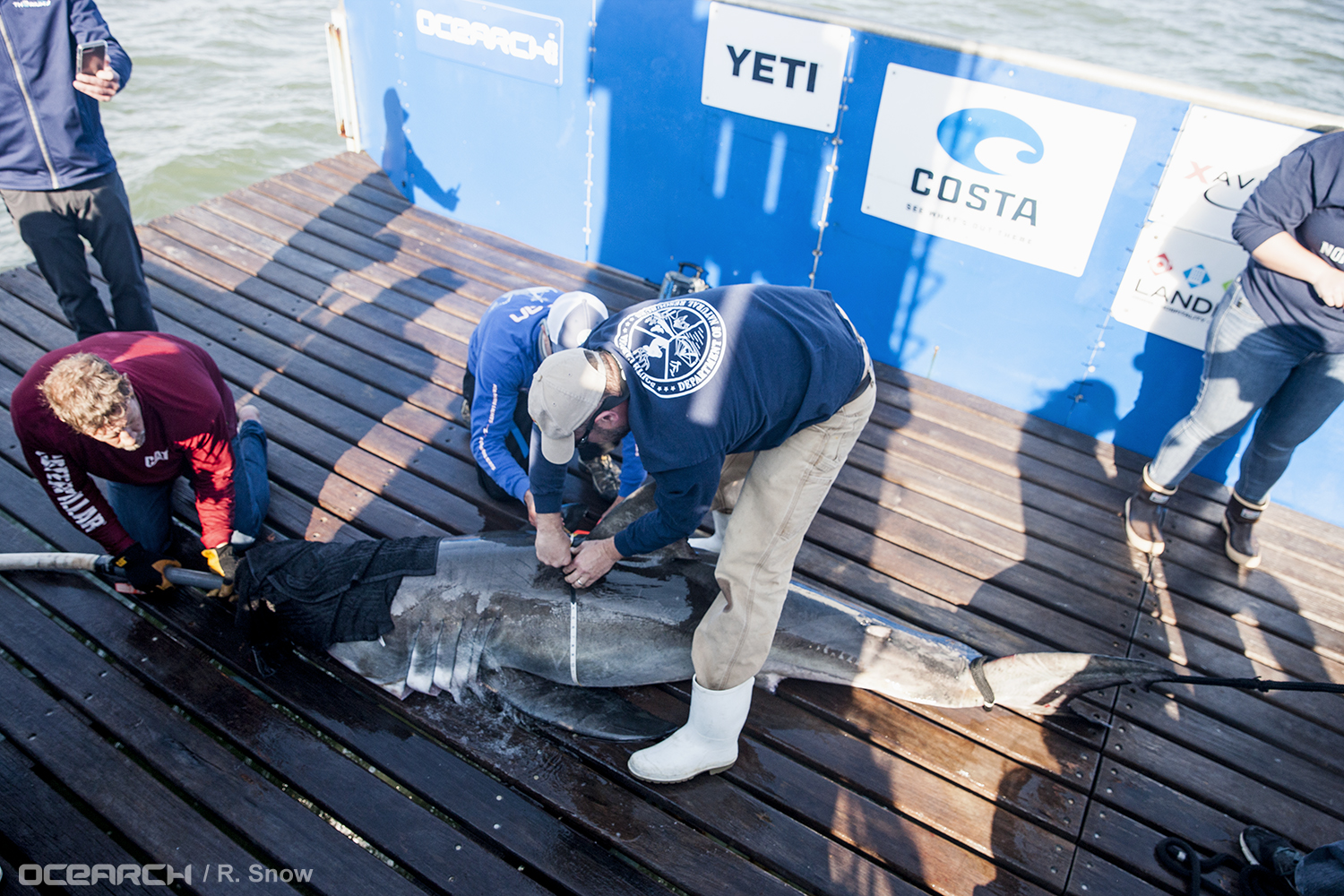 Frazier takes body measurements for white shark Savannah. (Photo: OCEARCH/R. Snow)