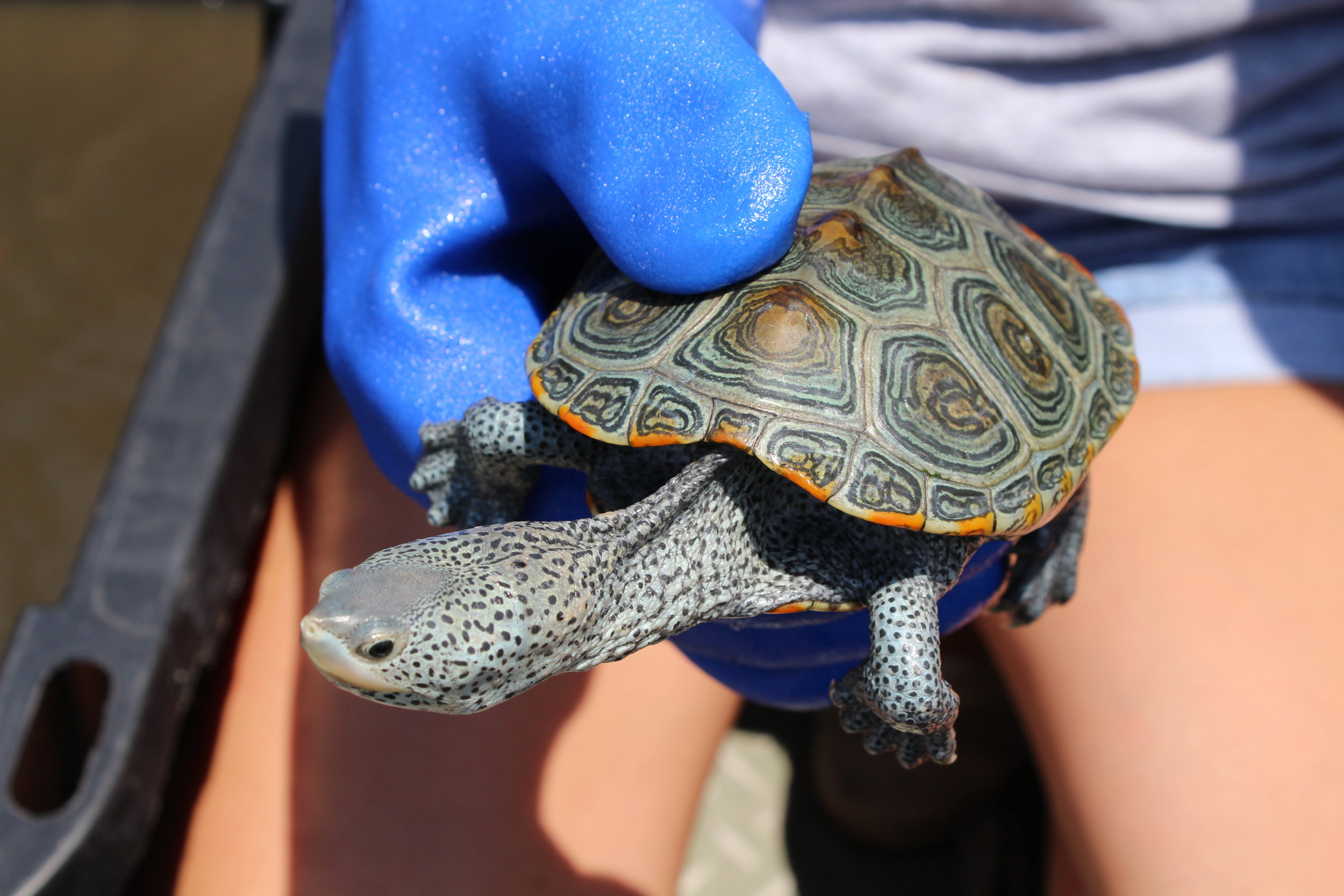 Diamondback terrapins are only found in the salt marshes of the East and Gulf Coasts, and their skin and shells come in a range of striking colors and patterns. (Photo: E. Weeks/SCDNR)