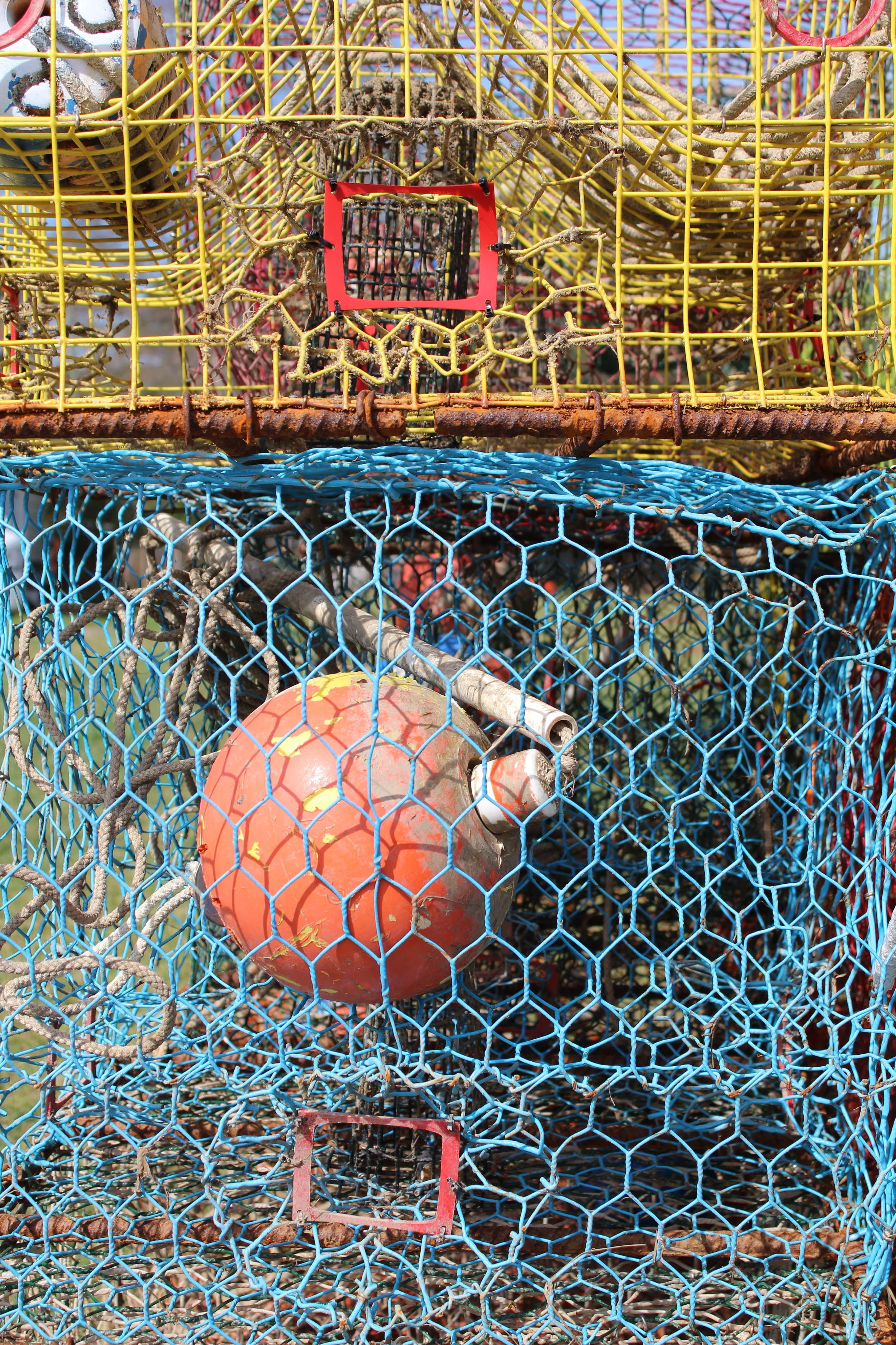The bycatch reduction devices fitted over the mouths of these crab traps will help prevent diamondback terrapins -- but not crabs -- from entering. (Photo: E. Weeks/SCDNR)