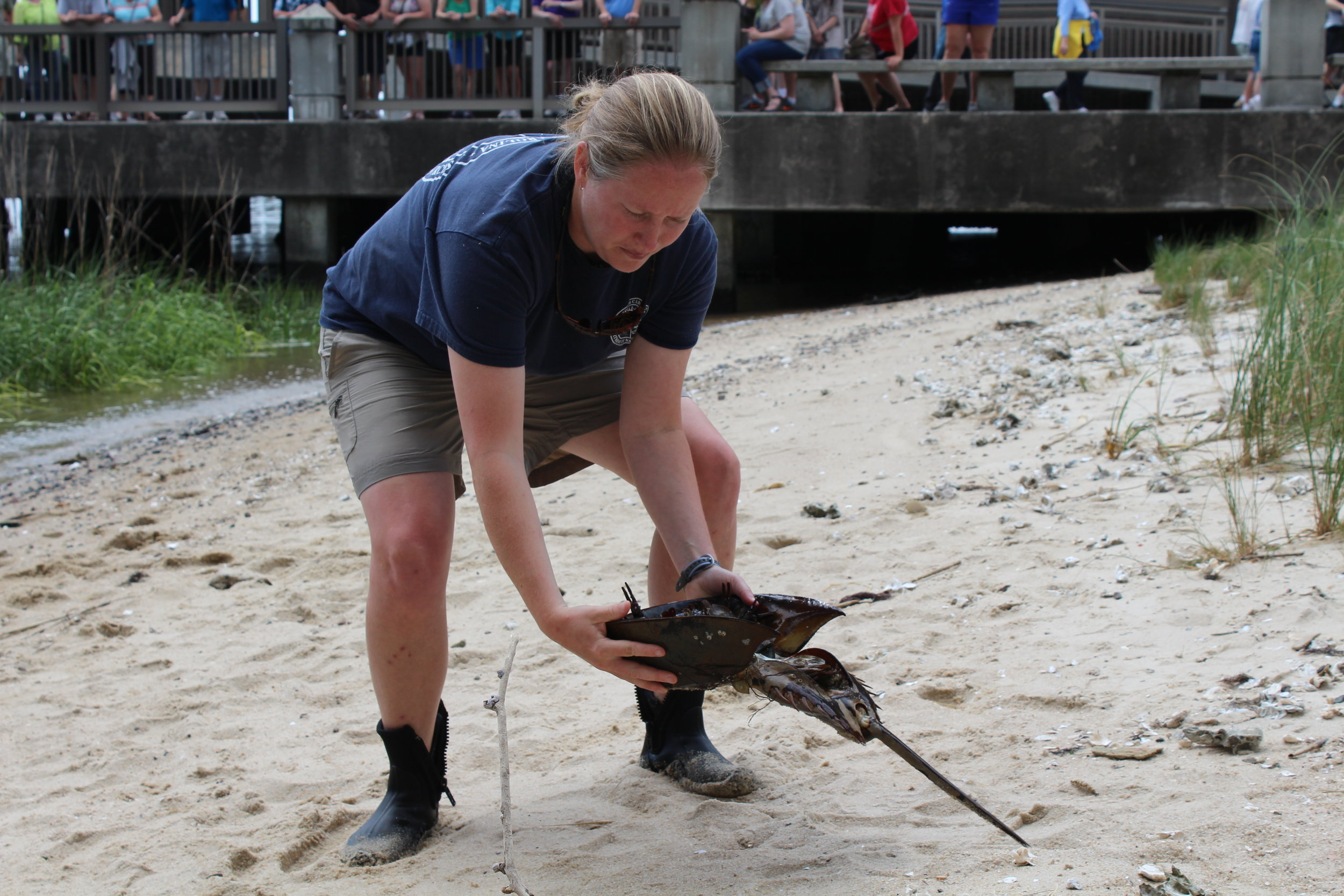 Former SCDNR biologist Amy Fowler demonstrates how to hold and flip a stranded horseshoe crab at the SC Aquarium in 2016. (Photo: E. Weeks/SCDNR)