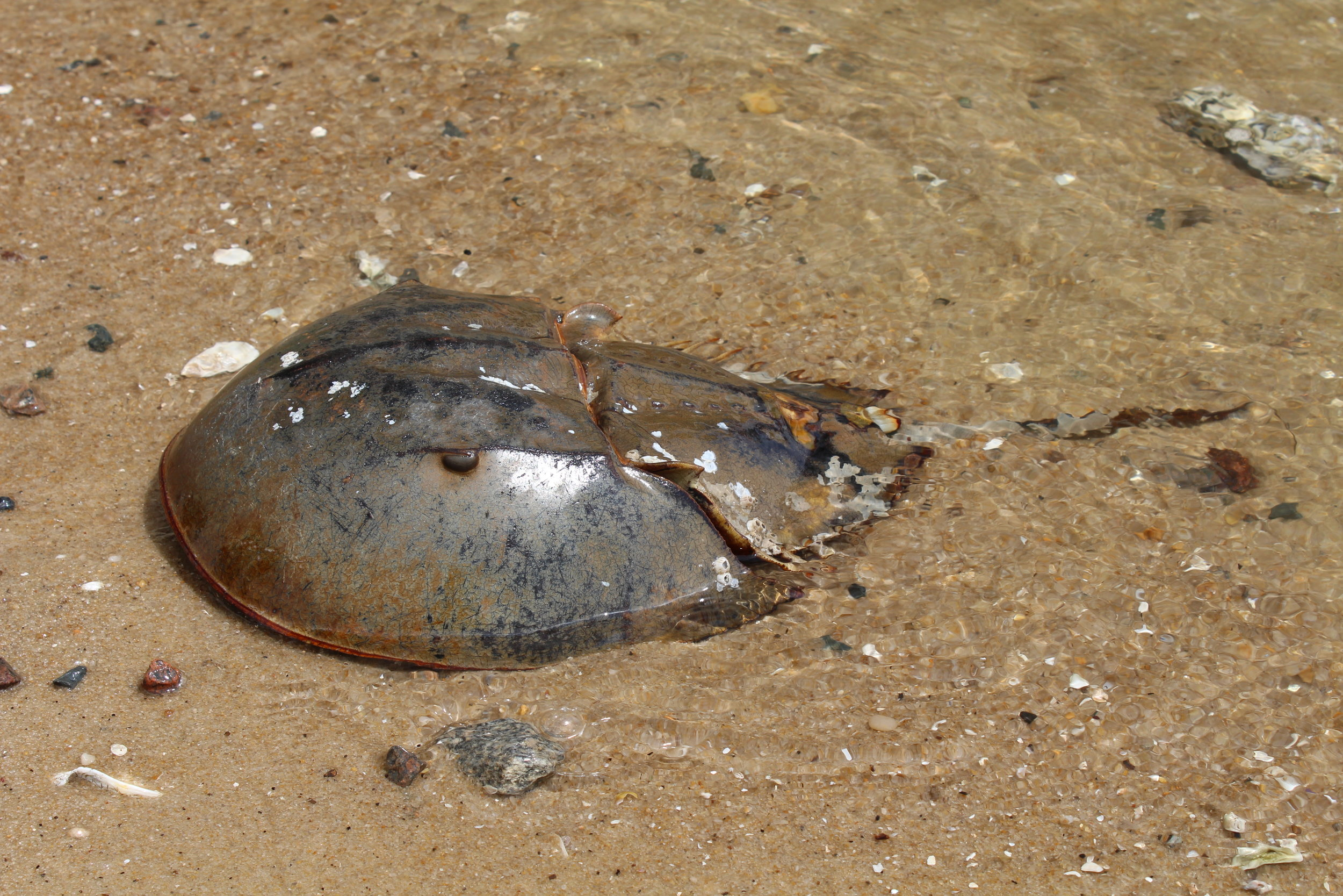This crab is facing right-side up. (Photo: E. Weeks/SCDNR)