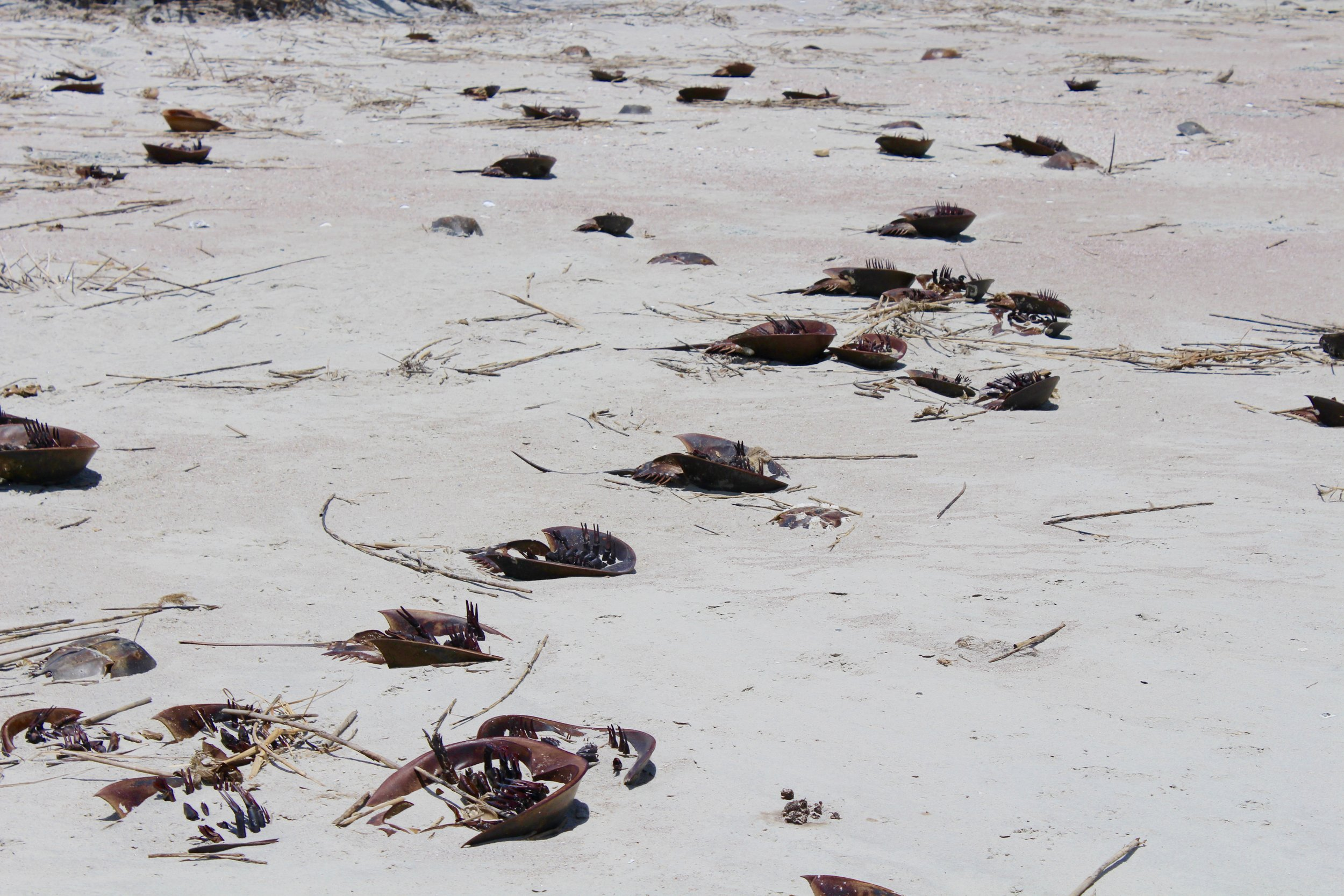 Rough weather strands many crabs on the beach each year. (Photo: E. Weeks/SCDNR)