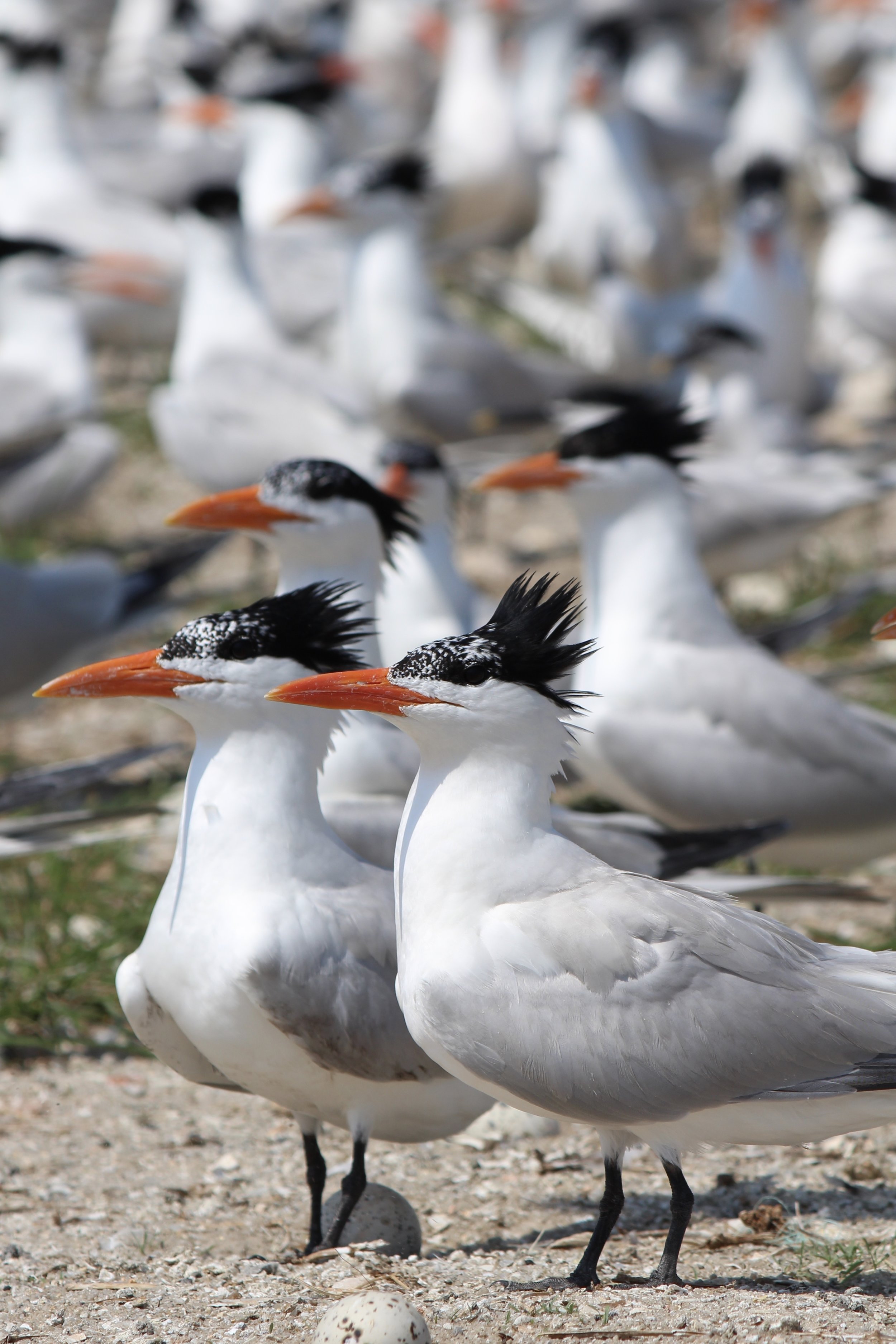 Royal terns sport pretty distinctive 'dos and bright orange bills. They're also fairly large among terns. (Photo: E. Weeks/SCDNR)