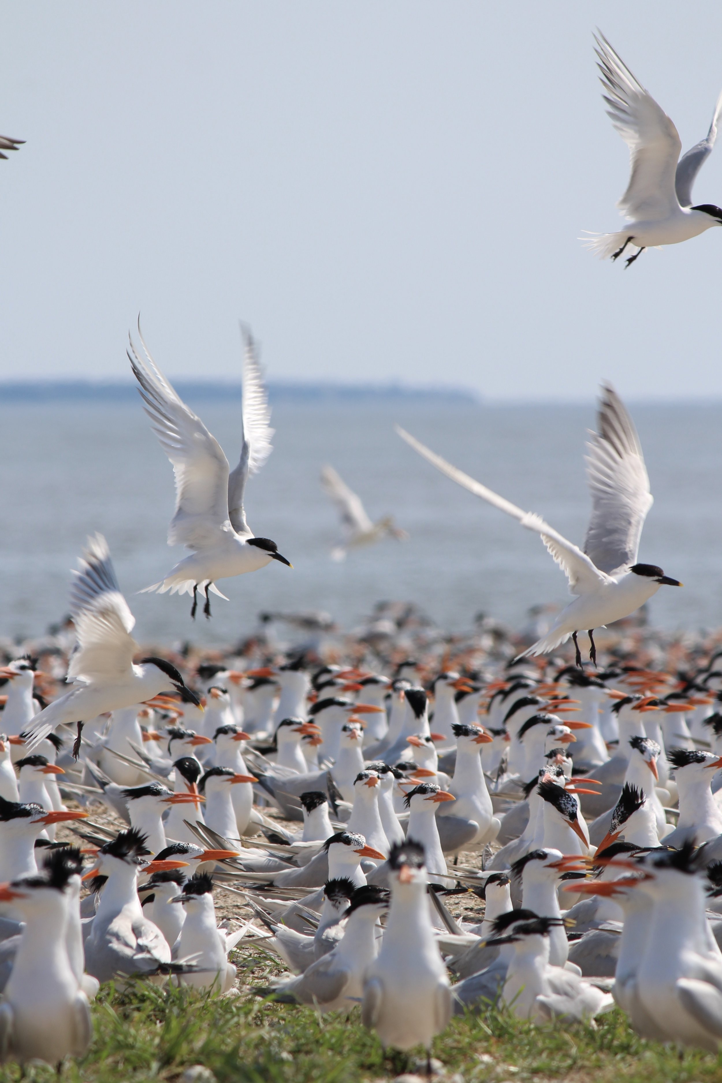 Terns eat schooling fish, diving dramatically from great heights into the water to catch their prey. (Photo: E. Weeks/SCDNR)