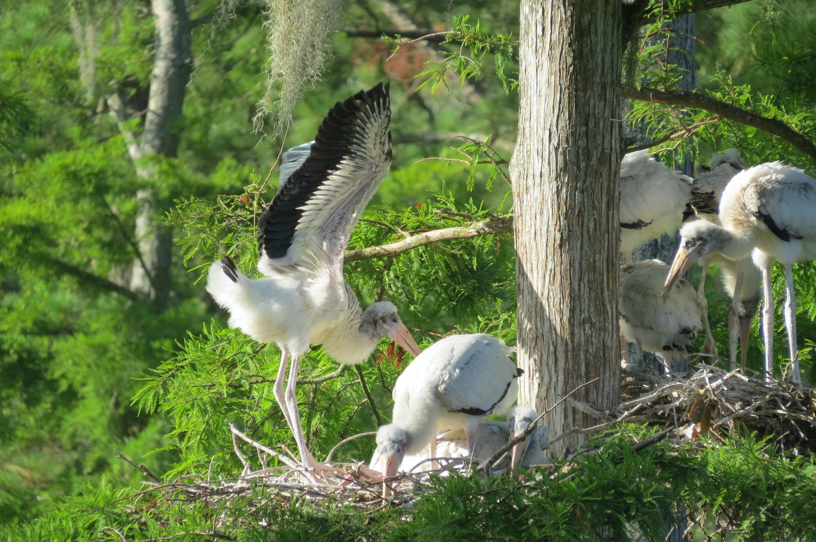 A juvenile wood stork stretches its wings. (Photo: Christy Hand/SCDNR)