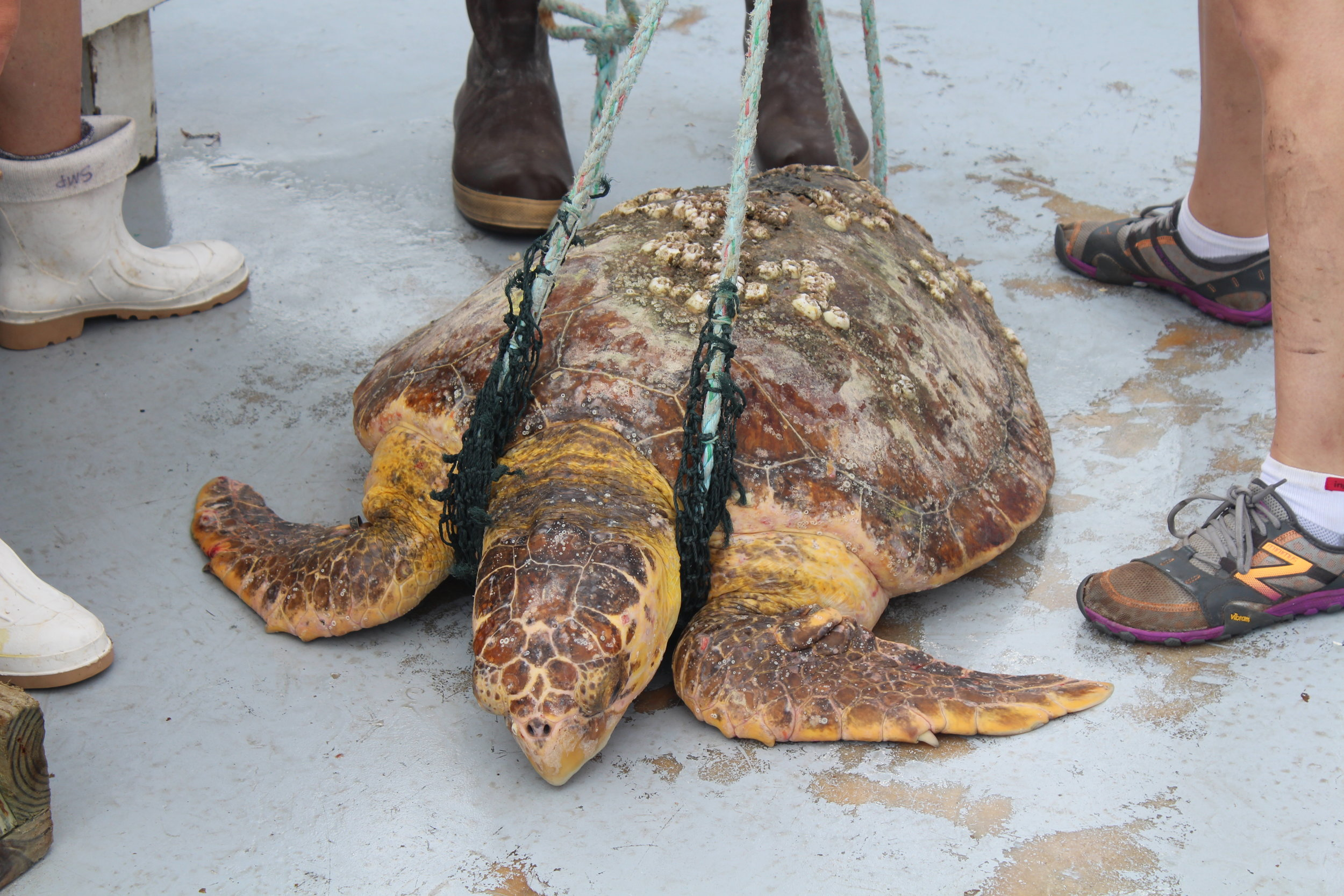 Shrimp boots, fishing boots, and sneakers are all good options for tagging sea turtles (this loggerhead is in a sling so that he/she can be slowly lowered back over the side of the boat into the water). (Photo: E. Weeks/SCDNR)
