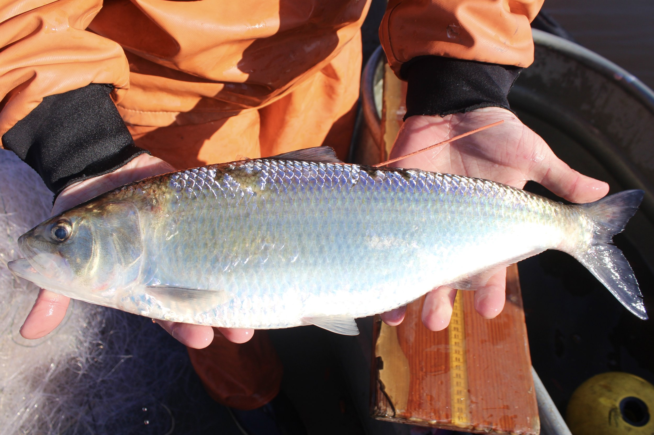 Tagged and measured, this female shad is ready to return to the water and reproduce further upstream. (Photo: E. Weeks/SCDNR)