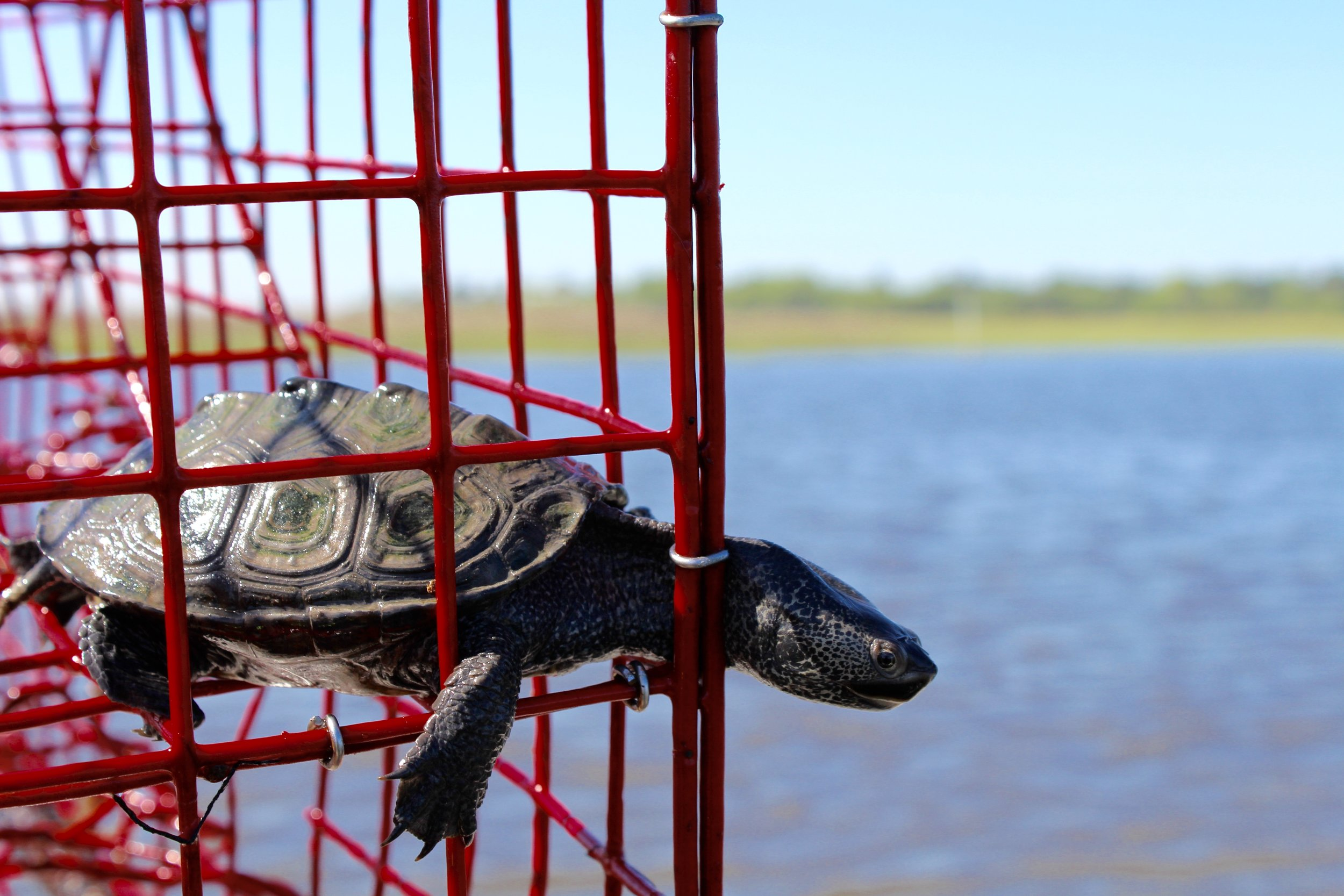 Diamondback terrapins that find their way in to crab pots are often unable to get back out. (Photo: E. Weeks/SCDNR)