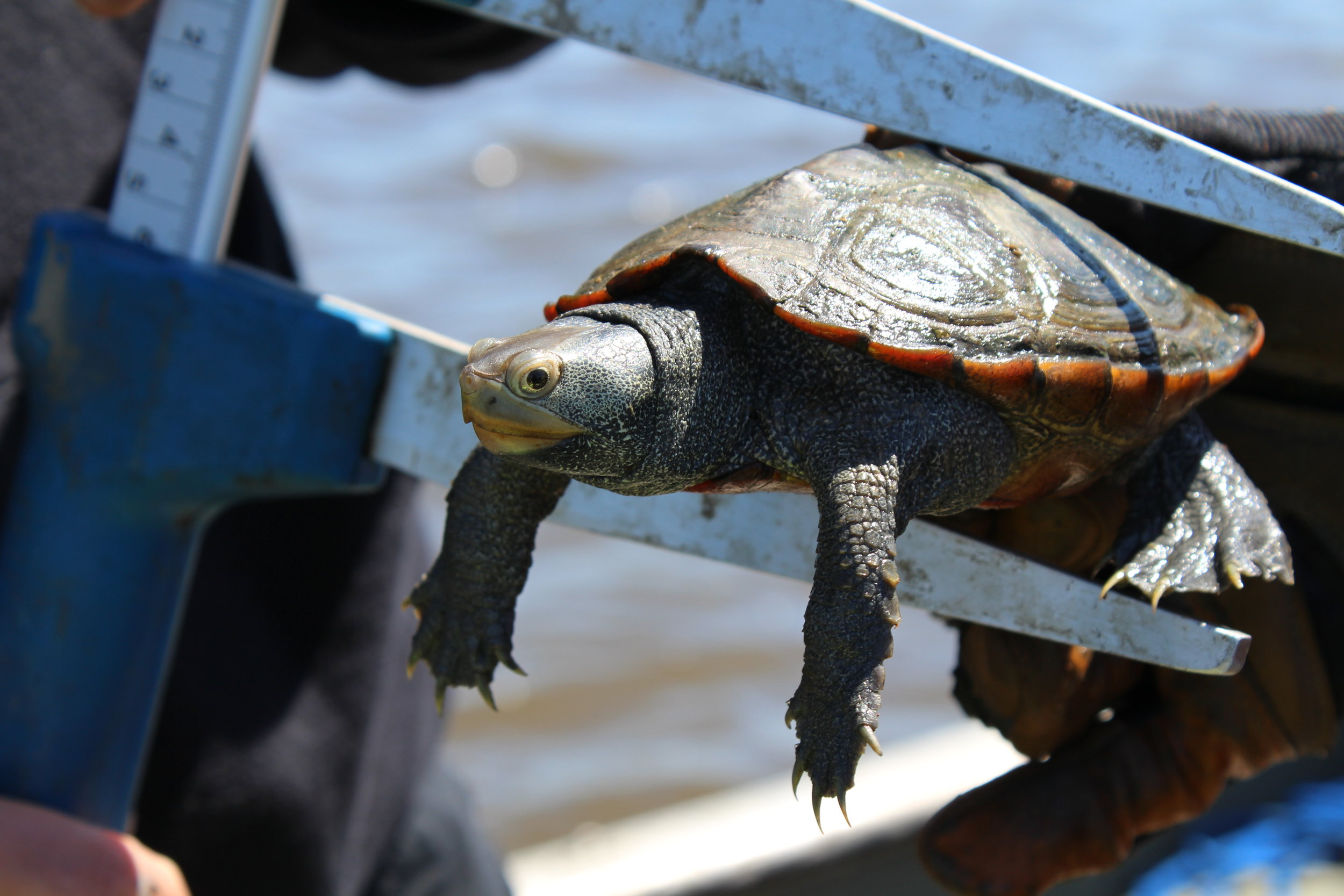Taking measurements of nearly 1,000 diamondback terrapins allowed the SCDNR team to model how different bycatch reduction devices would work in Charleston. (Photo: E. Weeks/SCDNR)