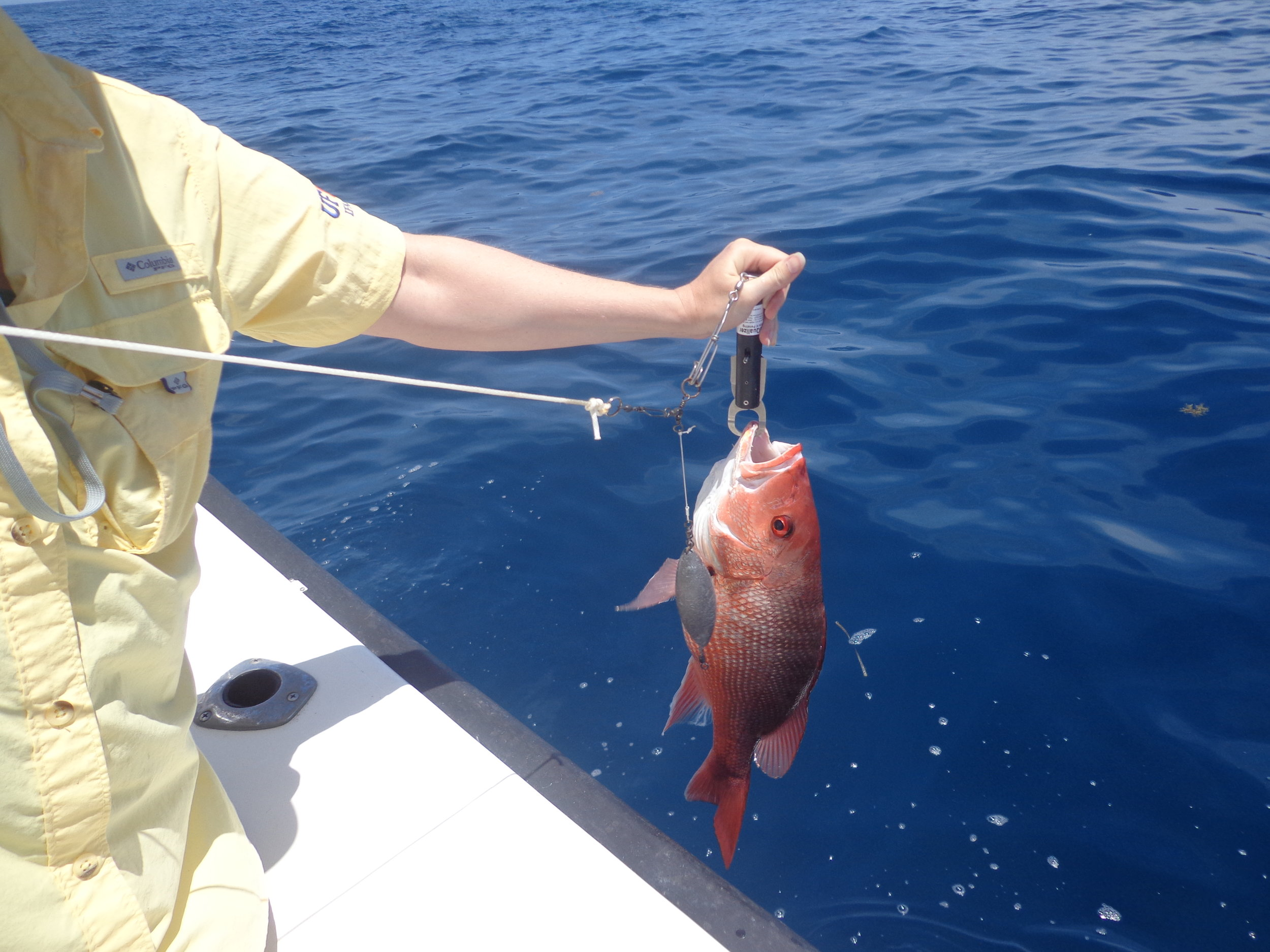 An angler prepares to lower a red snapper back into the water using a descending device called a Seaqualizer. (Photo:  Florida Sea Grant )