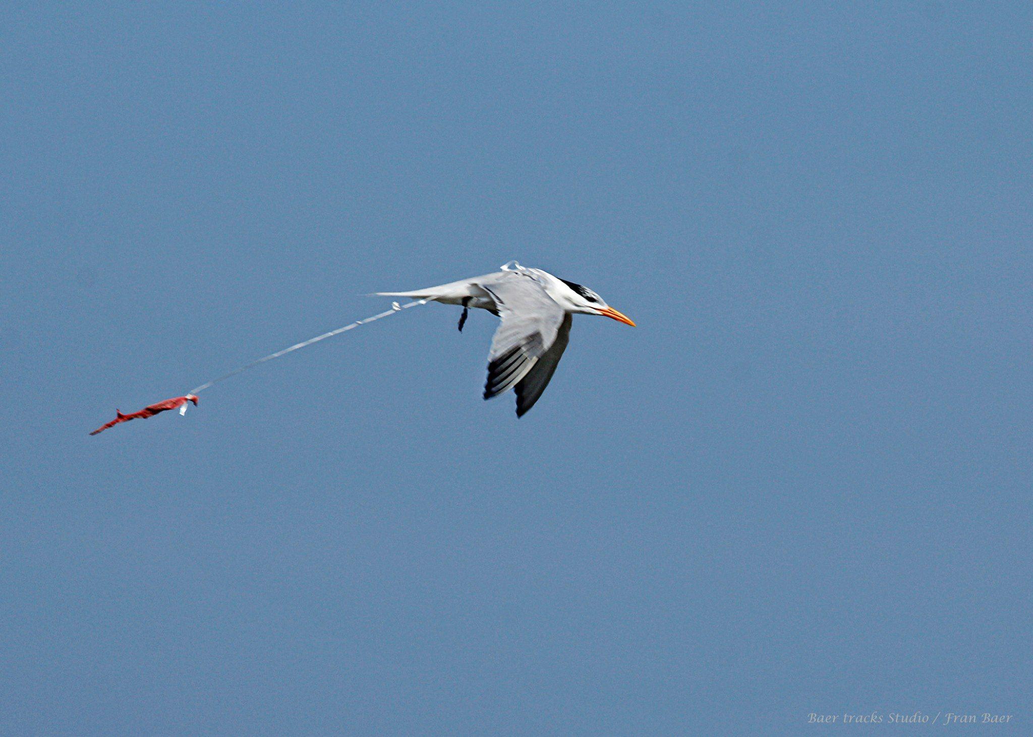 Balloon ribbons can entangle wildlife including shorebirds and sea turtles (Photo: Fran Bear)