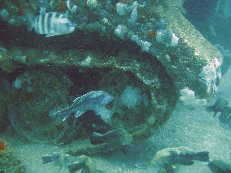 Peces Serrano estriado y Sargo chopa nadando cerca de las ruedas de un vehículo militar reutilizado en un arrecife artificial. (Foto por Bob Martore/SCDNR)