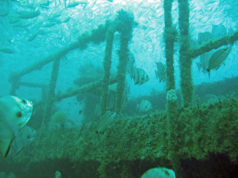 Cardumen de peces Chabela alrededor de la cubierta de una embarcación hundida cubierta con algas marinas y corales. (Foto por Bob Martore/SCDNR)