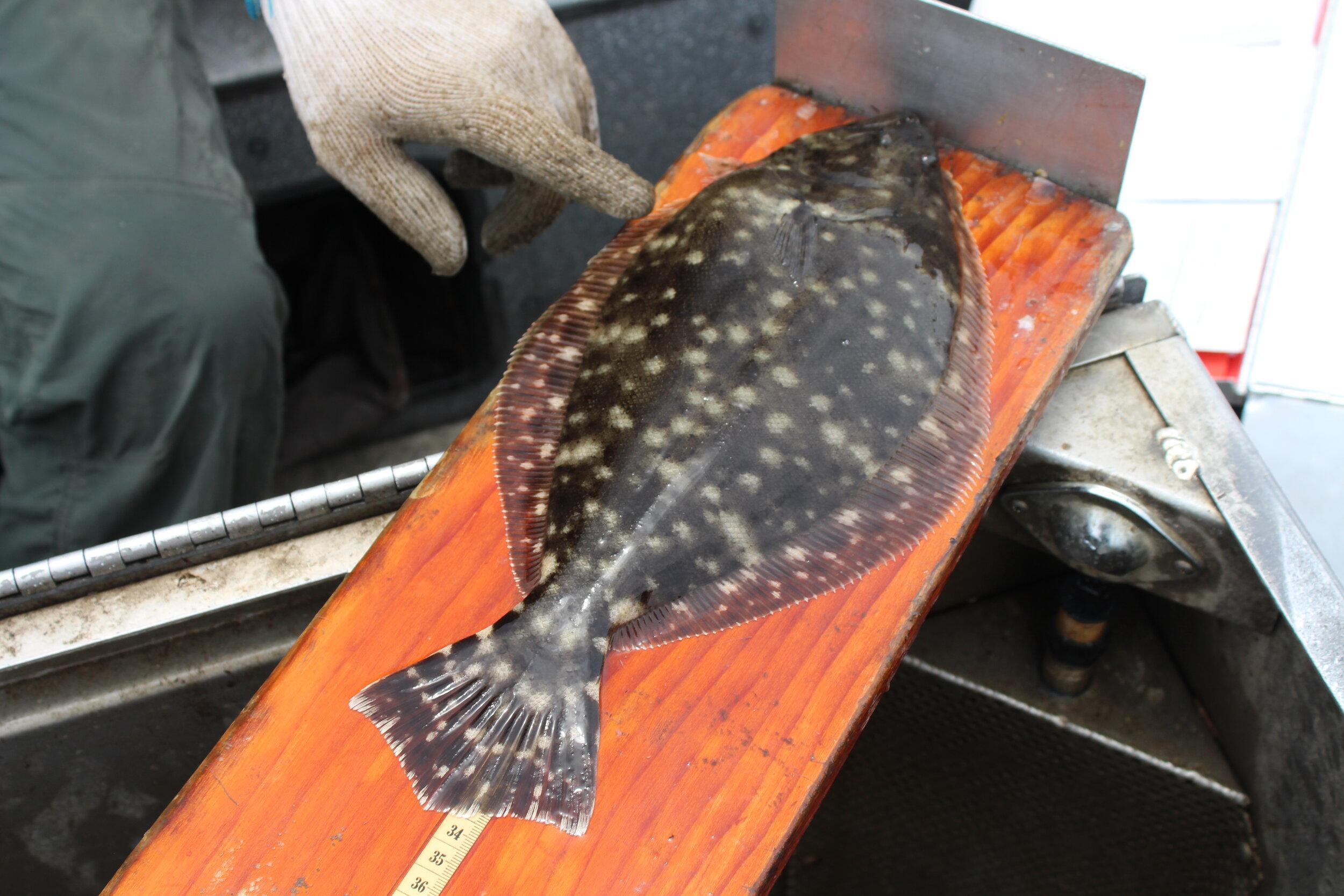 Southern flounder (Photo: E. Weeks/SCDNR)