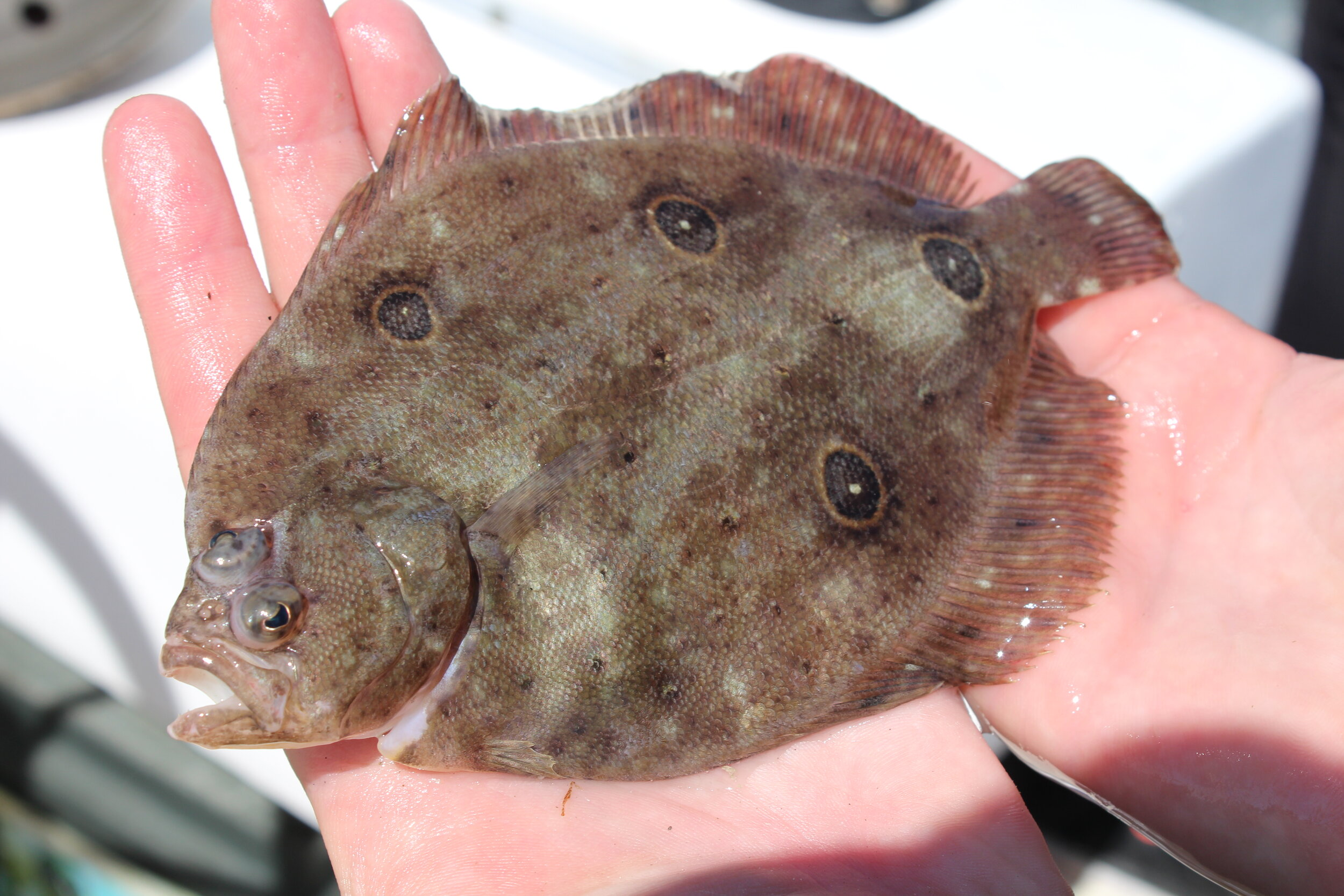 The uncommonly seen fourspot flounder is a smaller species that is rarely caught by anglers. (Photo: E. Weeks/SCDNR)