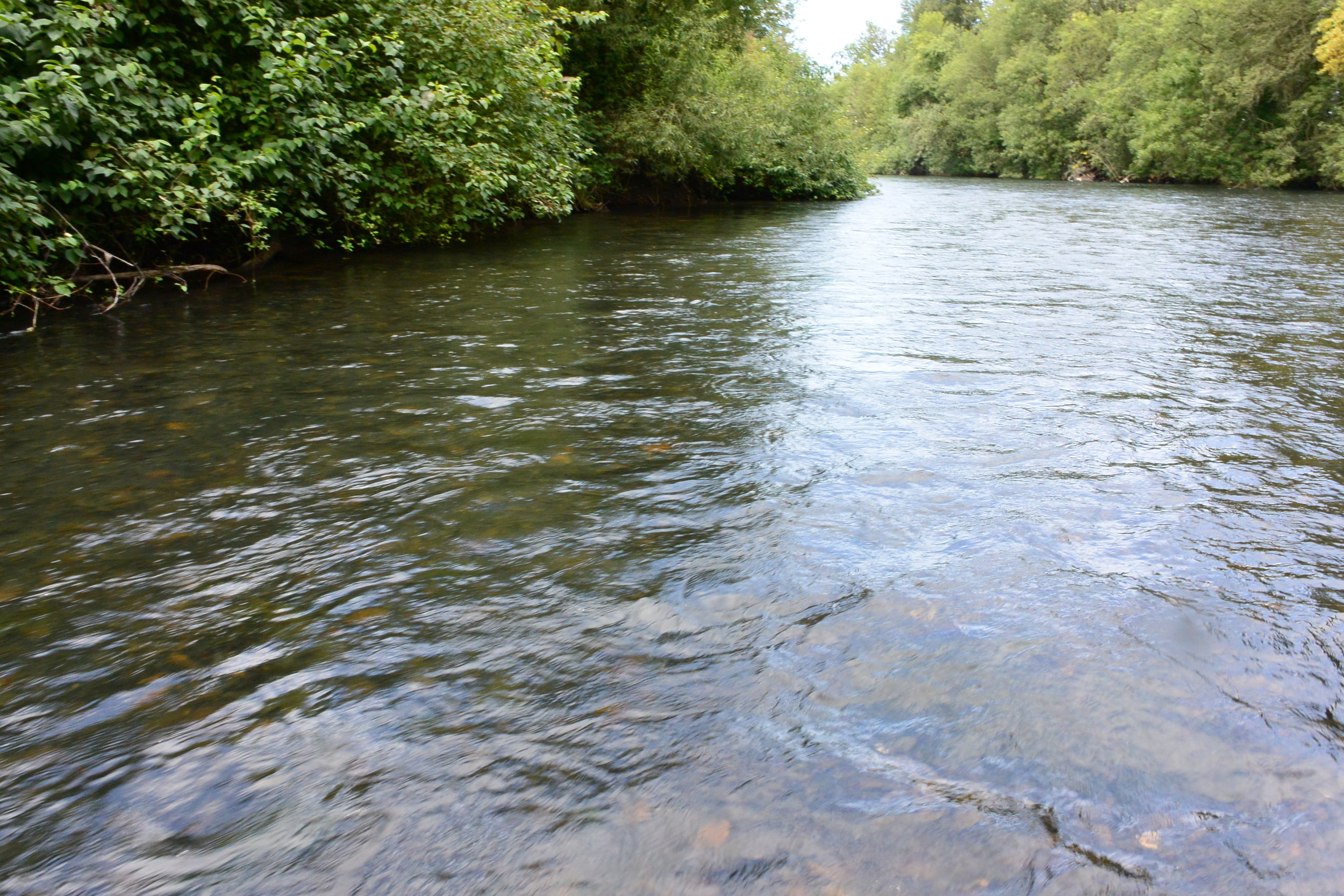 A swift moving Willamette side channel, sometimes where Western Pearlshell can be located.