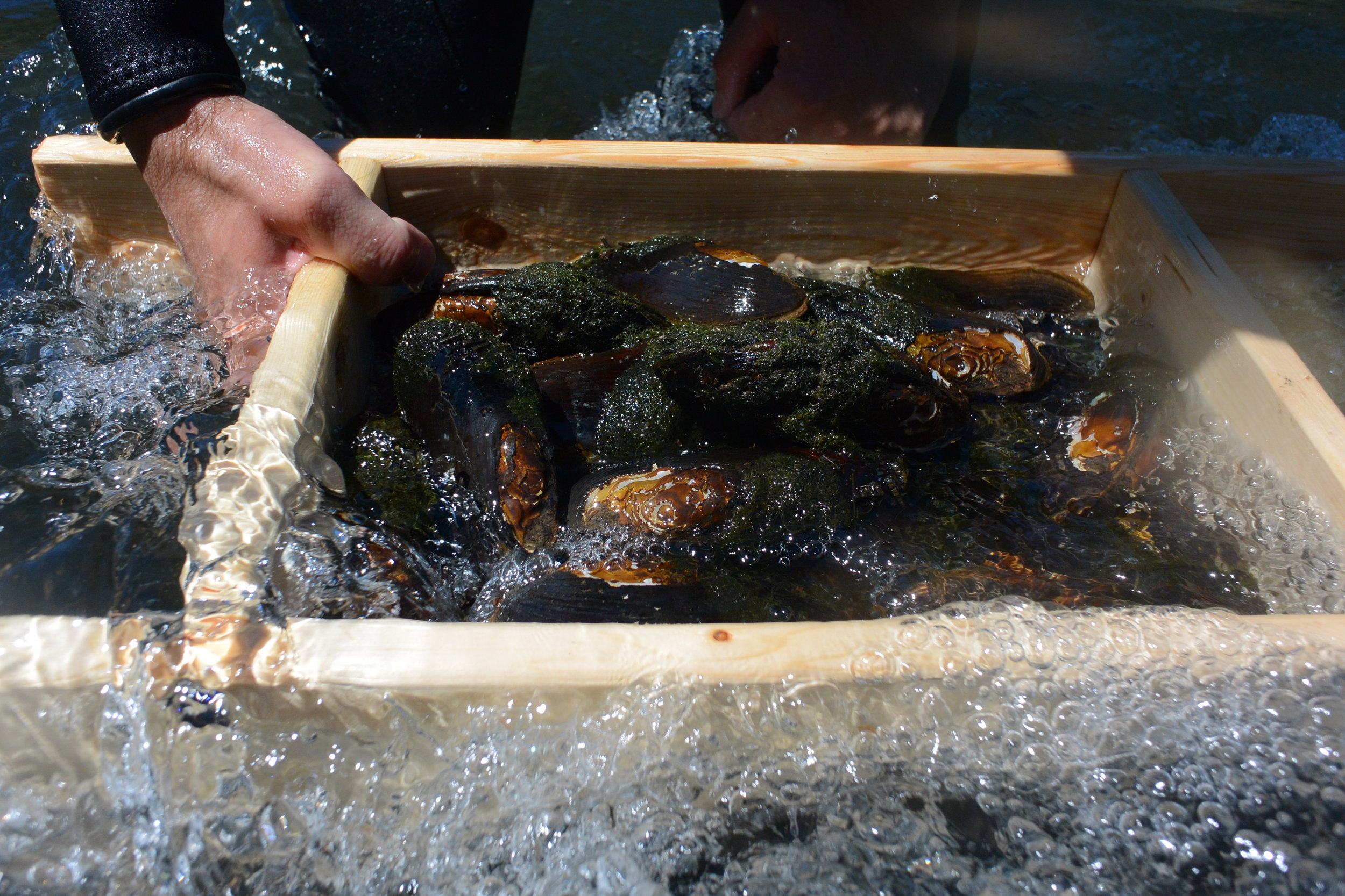 Mussels temporarily removed from river bed to measure during survey.