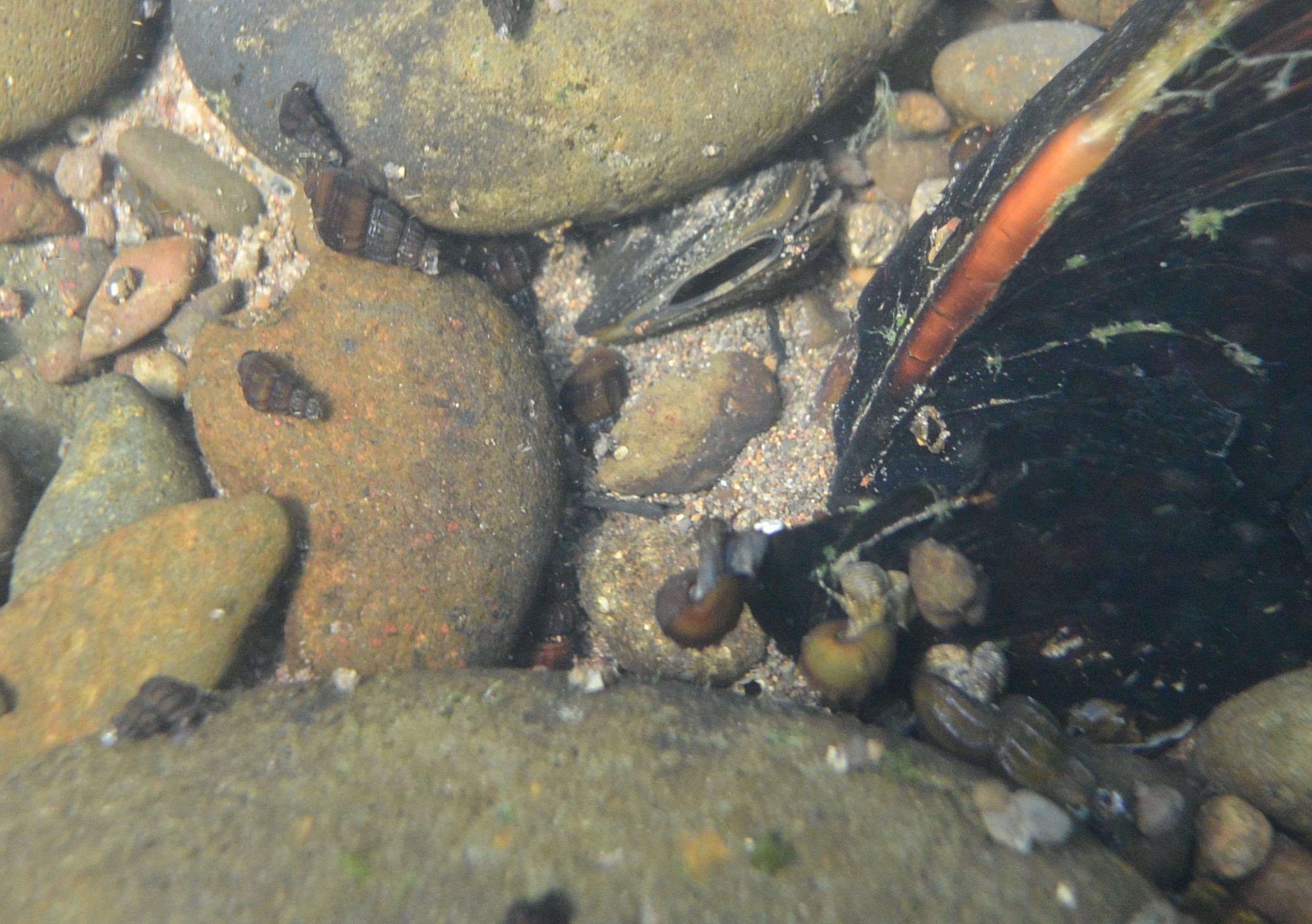 Here a juvenile mussel on the mainstem Willamette (summer of 2017), near Eugene.