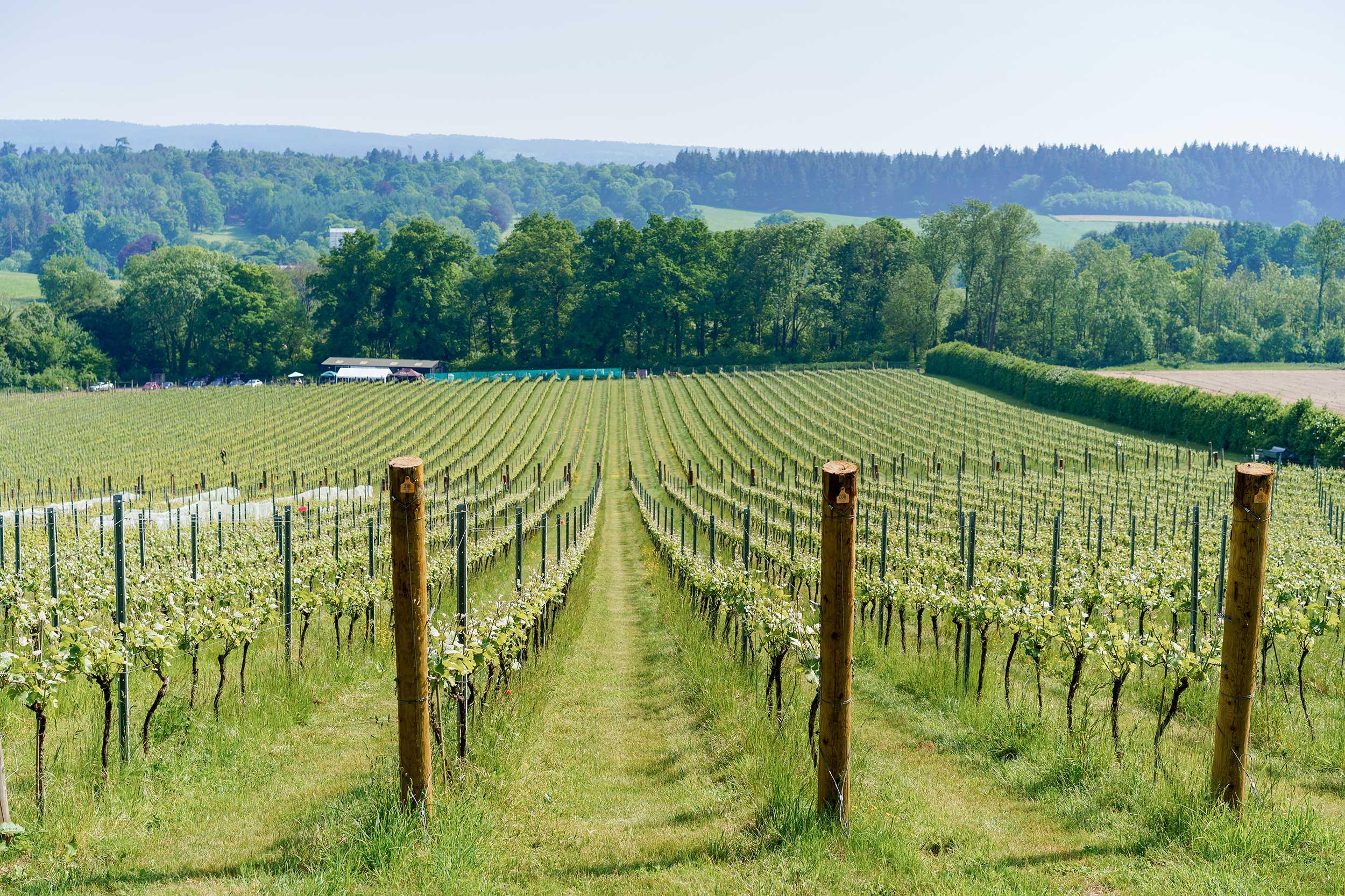 albury-vineyard