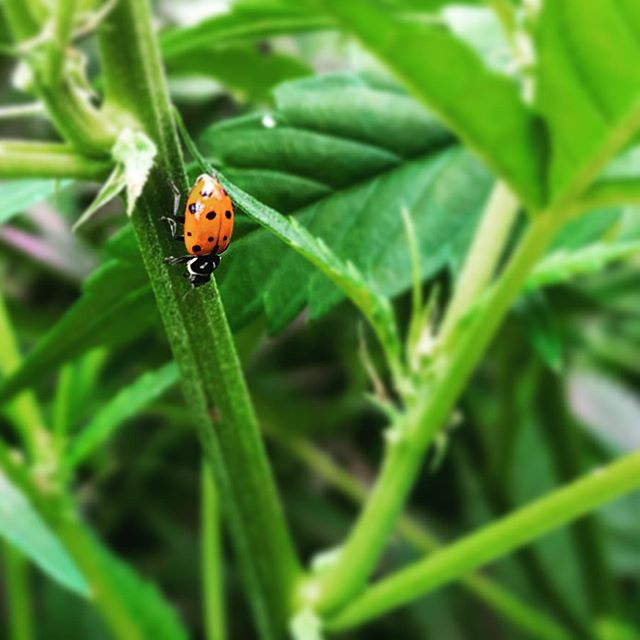 As much as we love the progress that results from innovative technology & science, we recognize at CFH that sometimes, the old ways are best. 🐞 . . . . . #cbd #cbdoil #fullspectrum #cbdfullspectrum #floweronly #cfh #cfhltd #cfhflower #fullspectrumhempfloweroil #knowyourcbdsource #thescienceinside #thescienceinsideyourbrand #coloradohemp #grownintheUSA