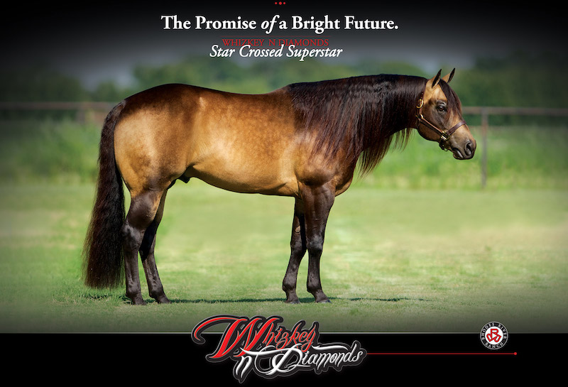 Stallions - Through Oklahoma Equine Reproductive Center, we stand multiple stallions including multi-champion reining horse Whizkey N Diamonds, LTE $224,020, and quarter horse racing futurity winner Im A Fancy PYC si 92, LTE $454,765.