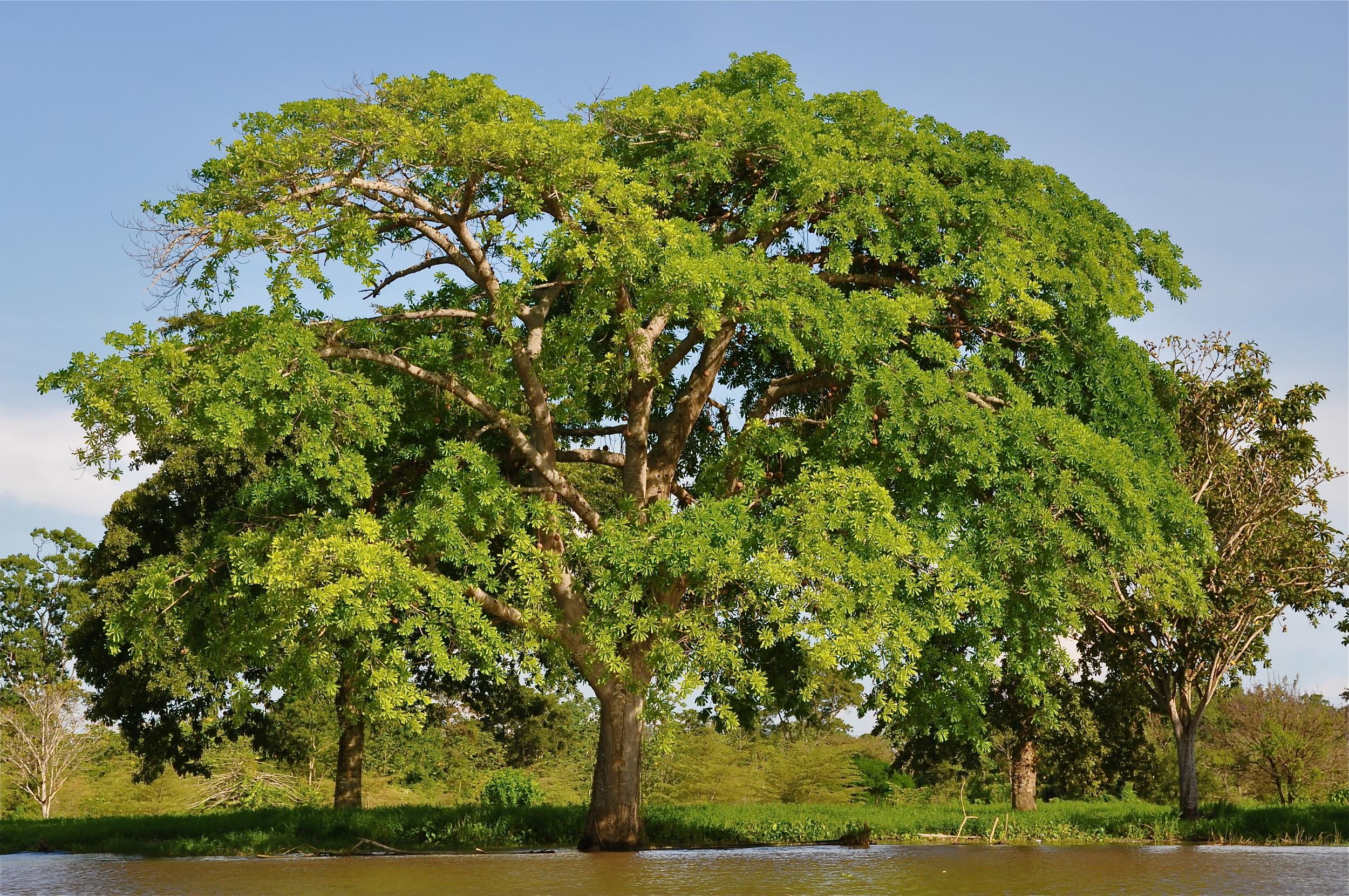 Árvore no rio Amazonas